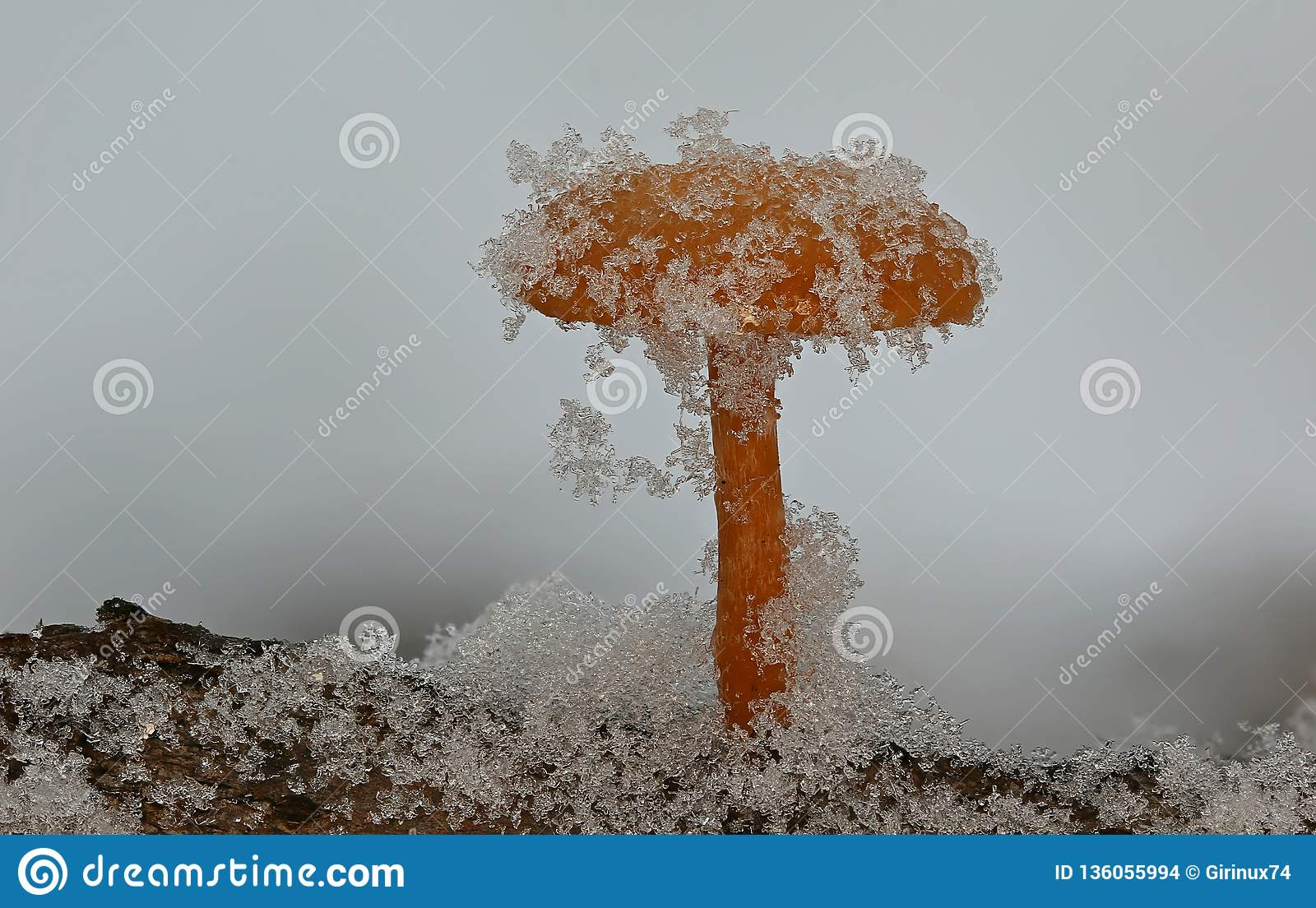 Cogumelos de inverno sob a neve macia