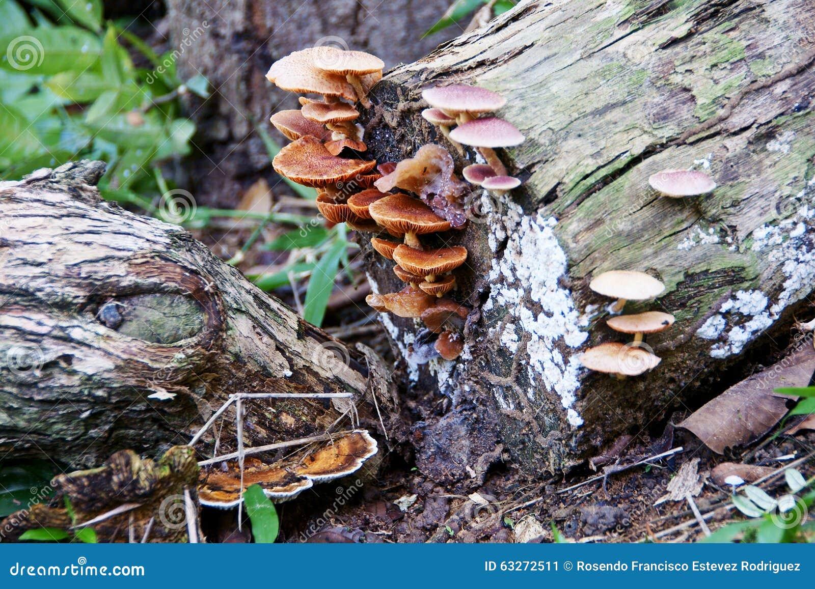 Cogumelos na madeira velha