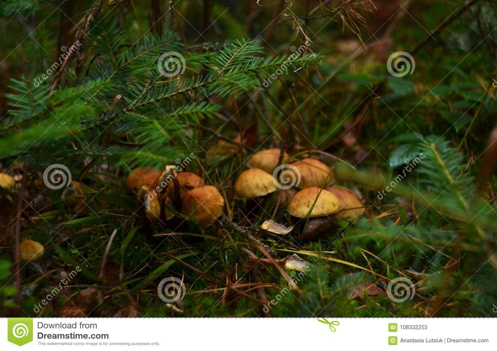 Cogumelos pequenos sob as agulhas spruce