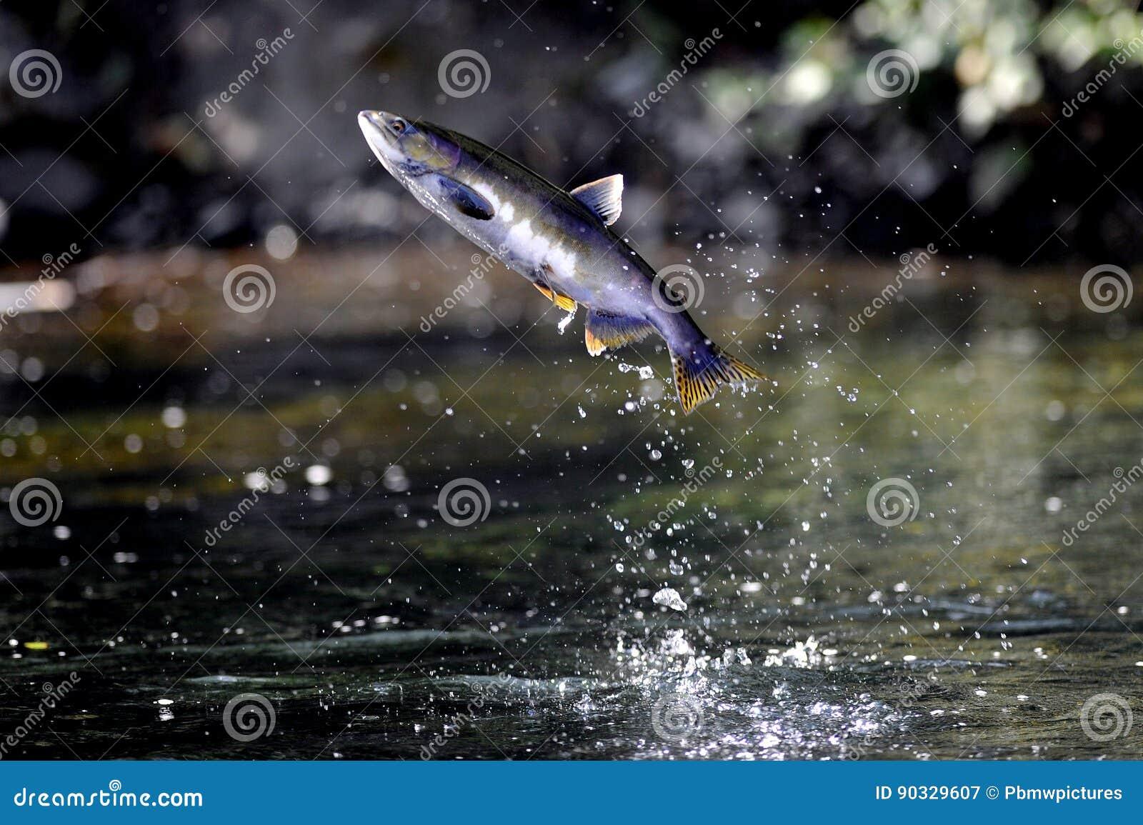 Cohozalm die uit de Vreedzame Oceaan springen