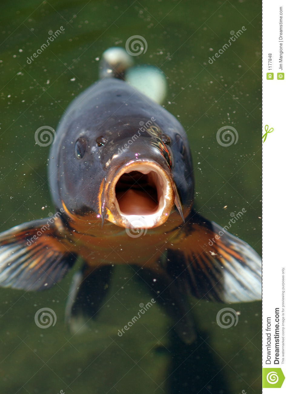 Coi Fish Open Mouth Royalty Free Stock Photos Image 1177848