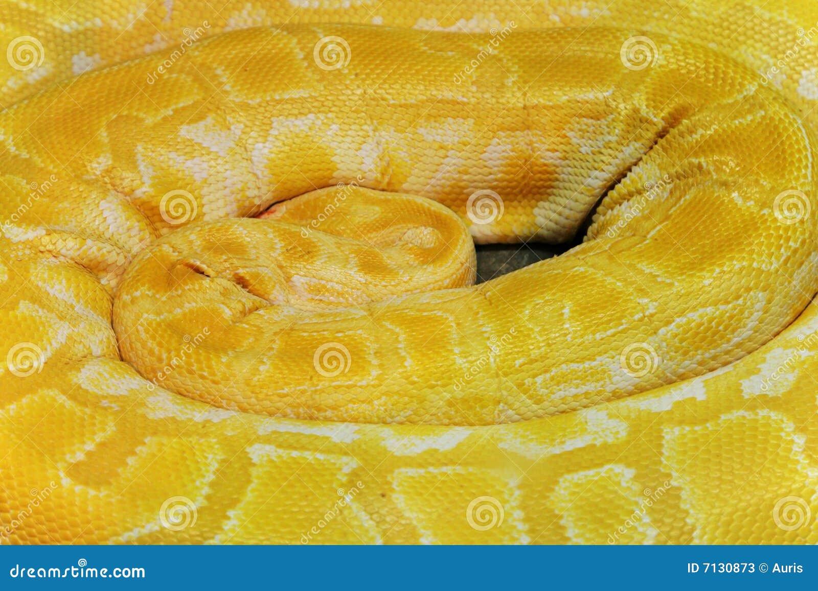 Coil Up Yellow Boa Stock Photos Image 7130873