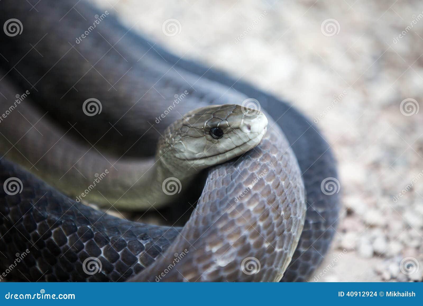 coiled black mamba snake stock photo image of wildlife