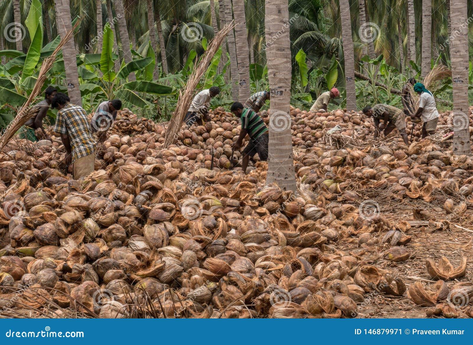 Coimbatore, Tamil Nadu/India April-11-2019 il processo di sbucciatura della noce di cocco è fatto mediante molti lavori dell azie