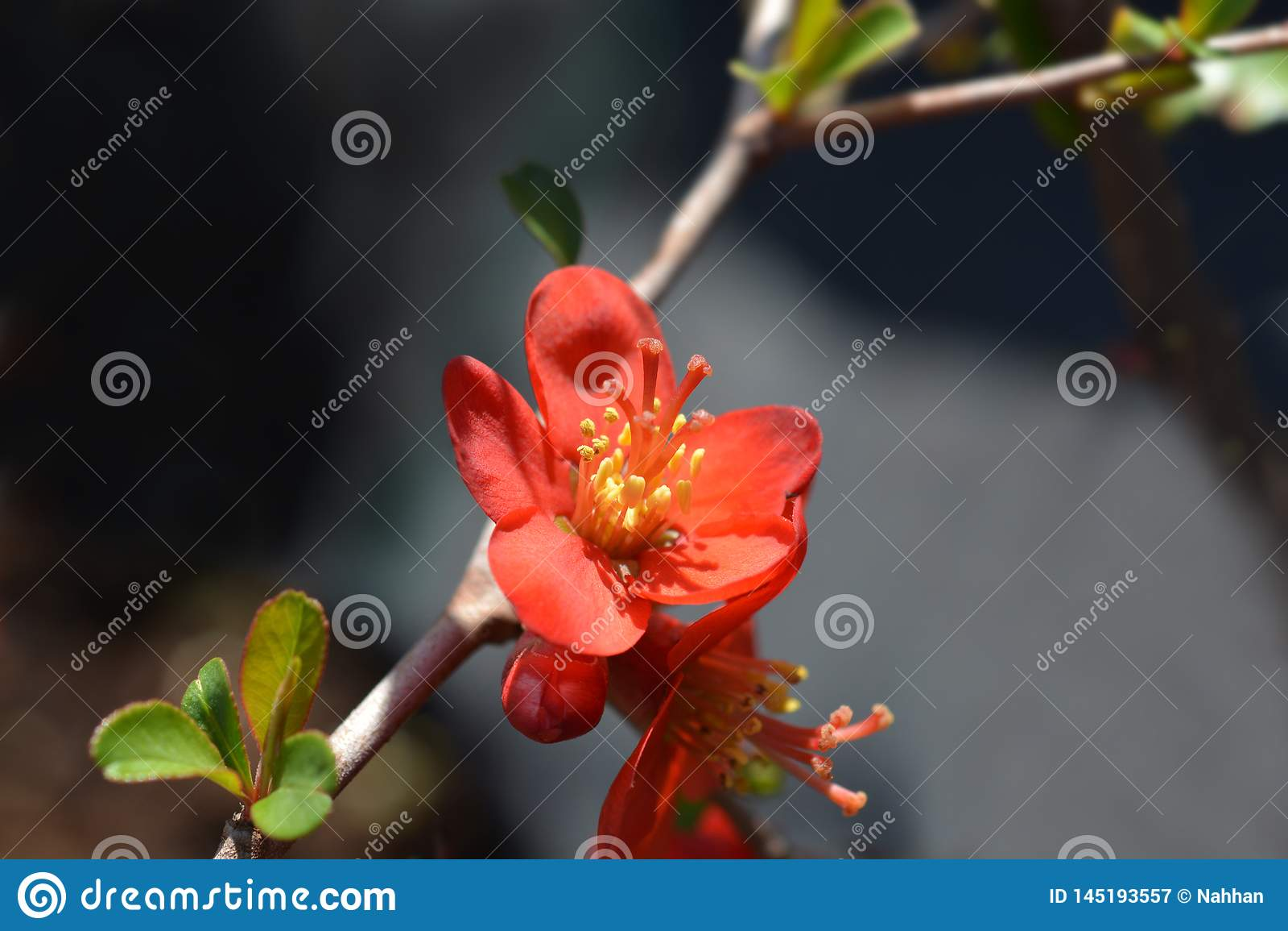 Coing de floraison de Hollandia