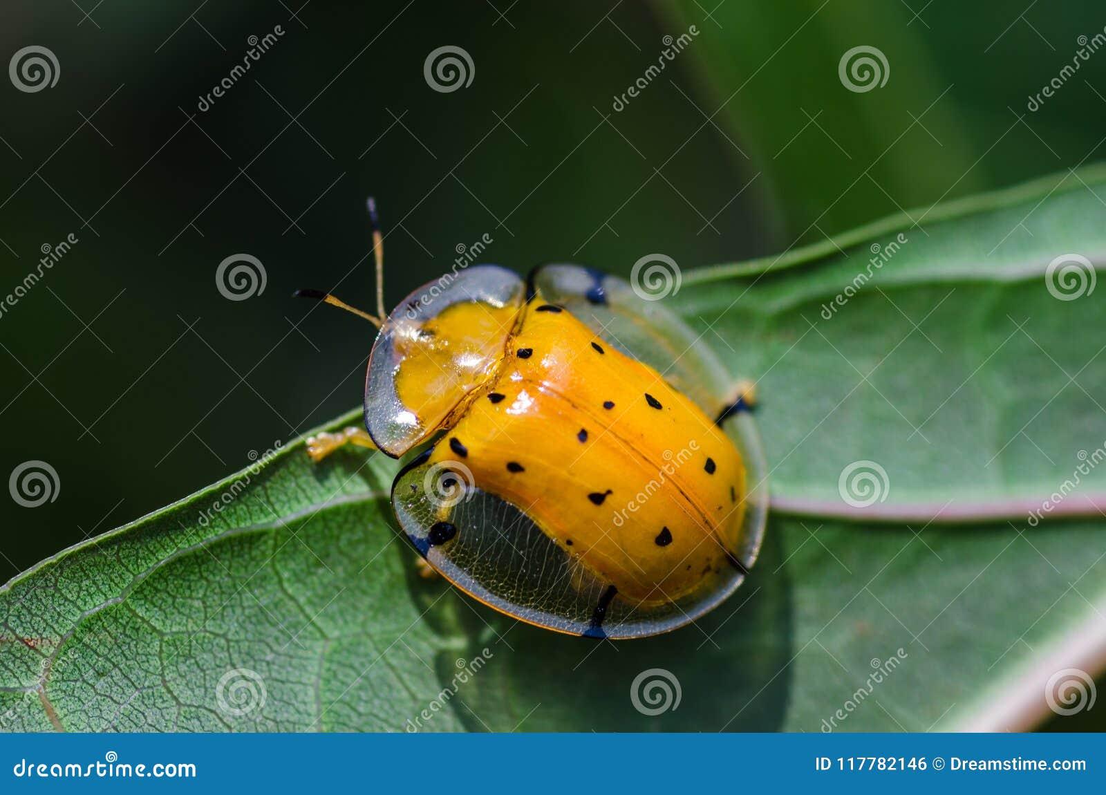 Coléoptère jaune de tortue