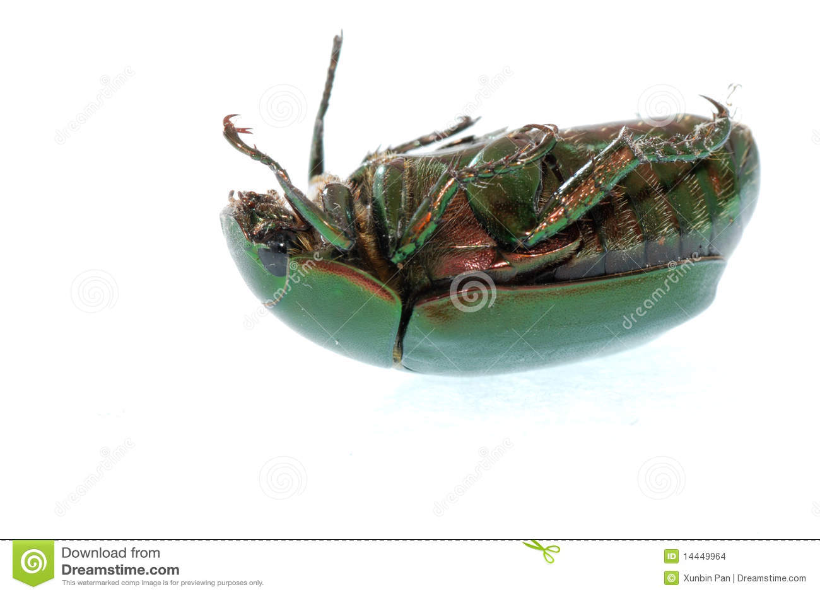 Coléoptère vert