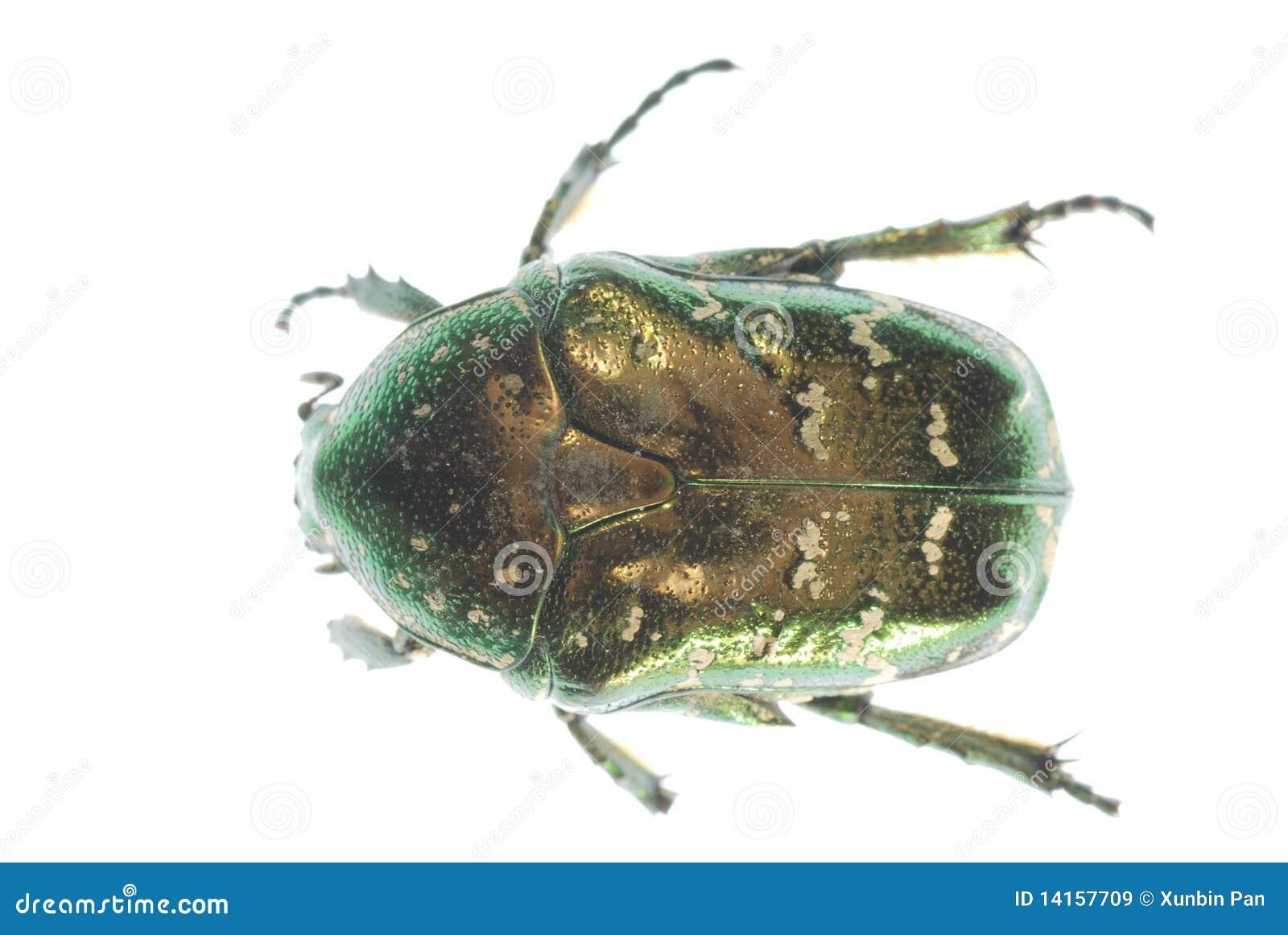 Coléoptère vert d insecte