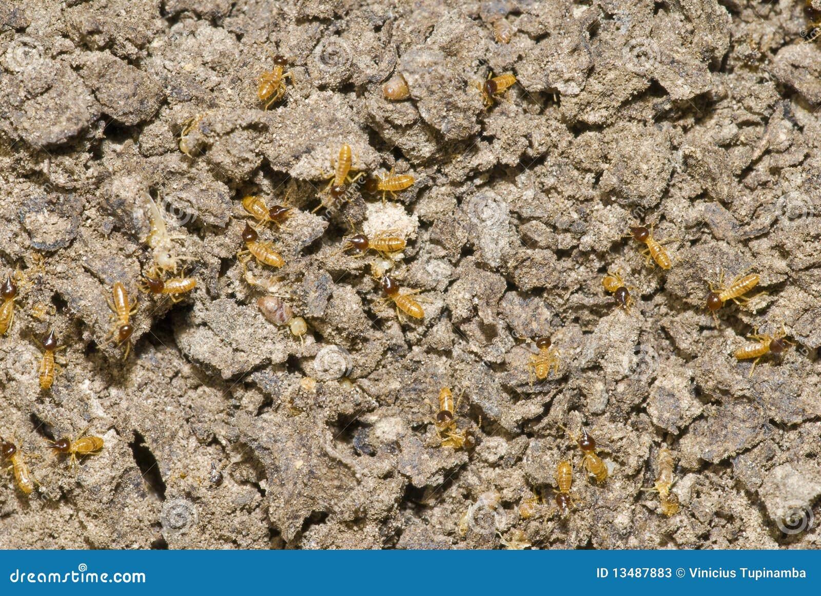 Colônia das térmitas