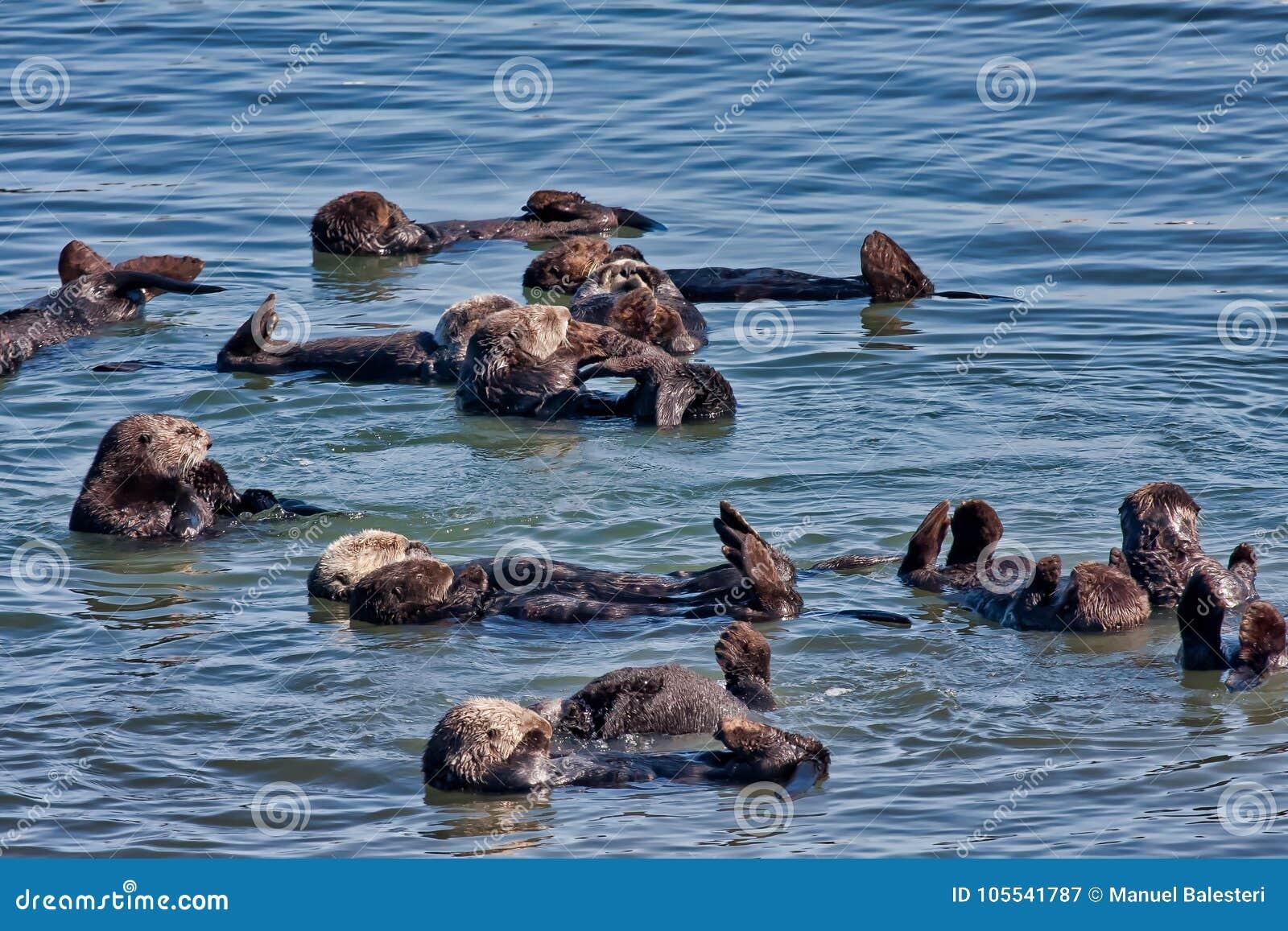 Colônia de lontras de mar em Elkhorn Sleugh em Monterey, CA