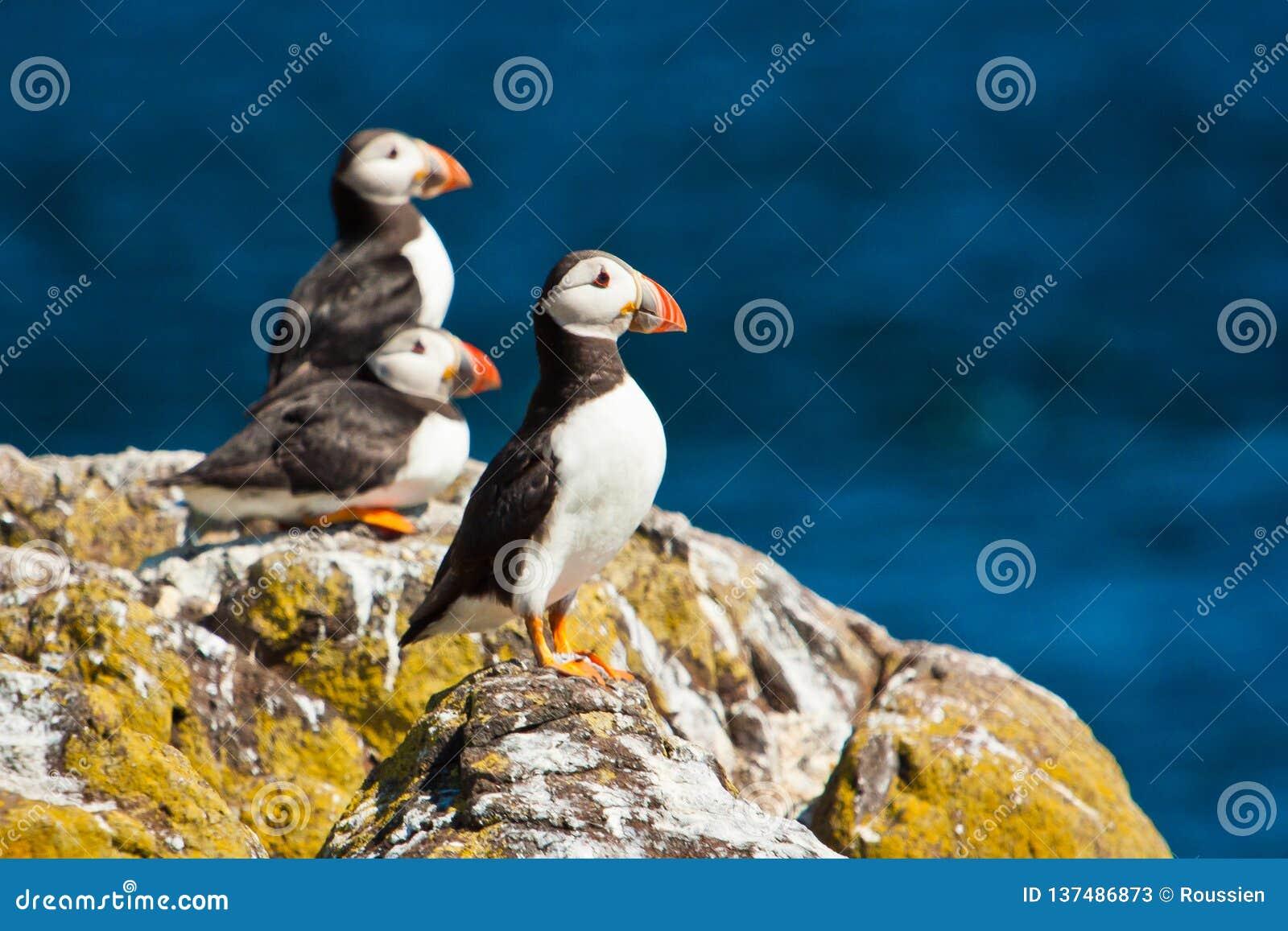 A colônia do papagaio-do-mar na ilha de pode em Scottland, Reino Unido