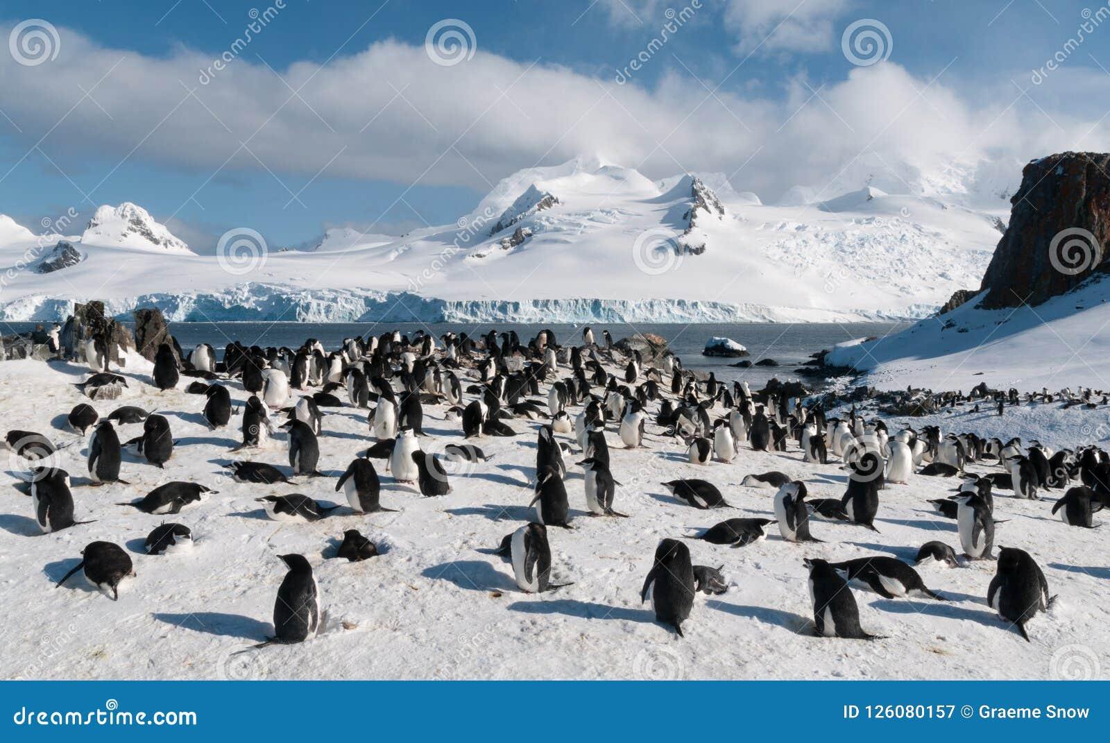 Colônia do pinguim de Chinstrap do assentamento, ilha da meia lua, a Antártica
