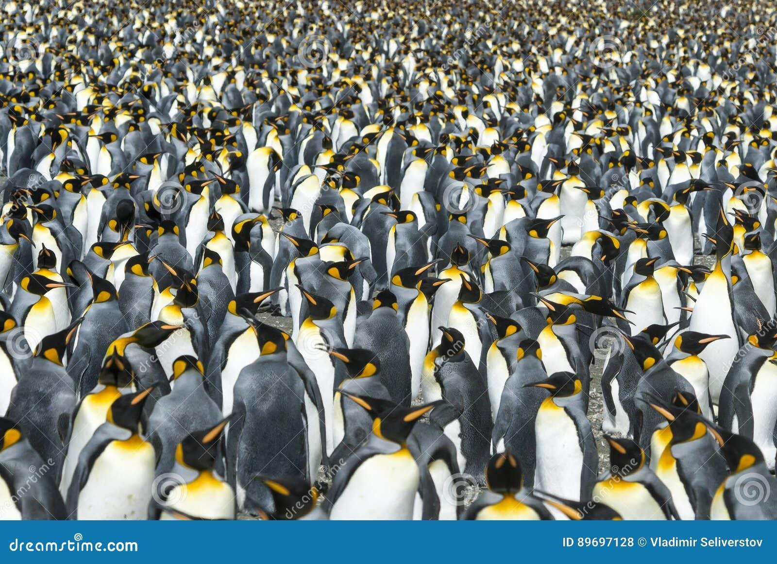 Colônia dos pinguins de rei em Geórgia sul