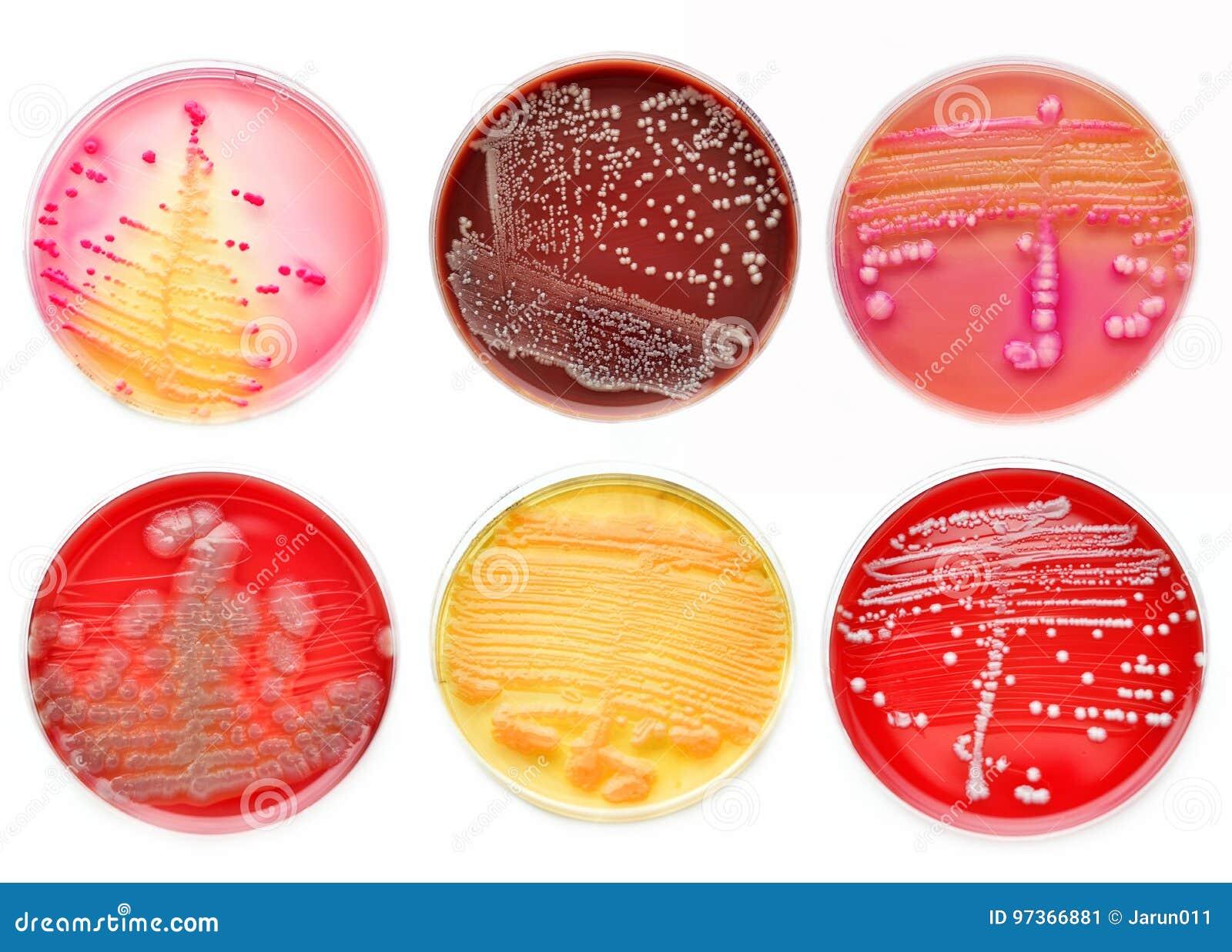 Colônias das bactérias