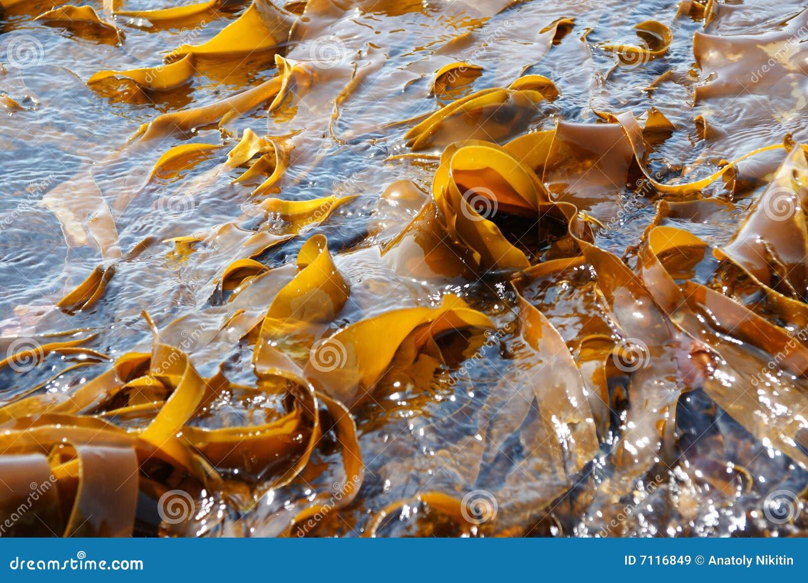 Col rizada de mar