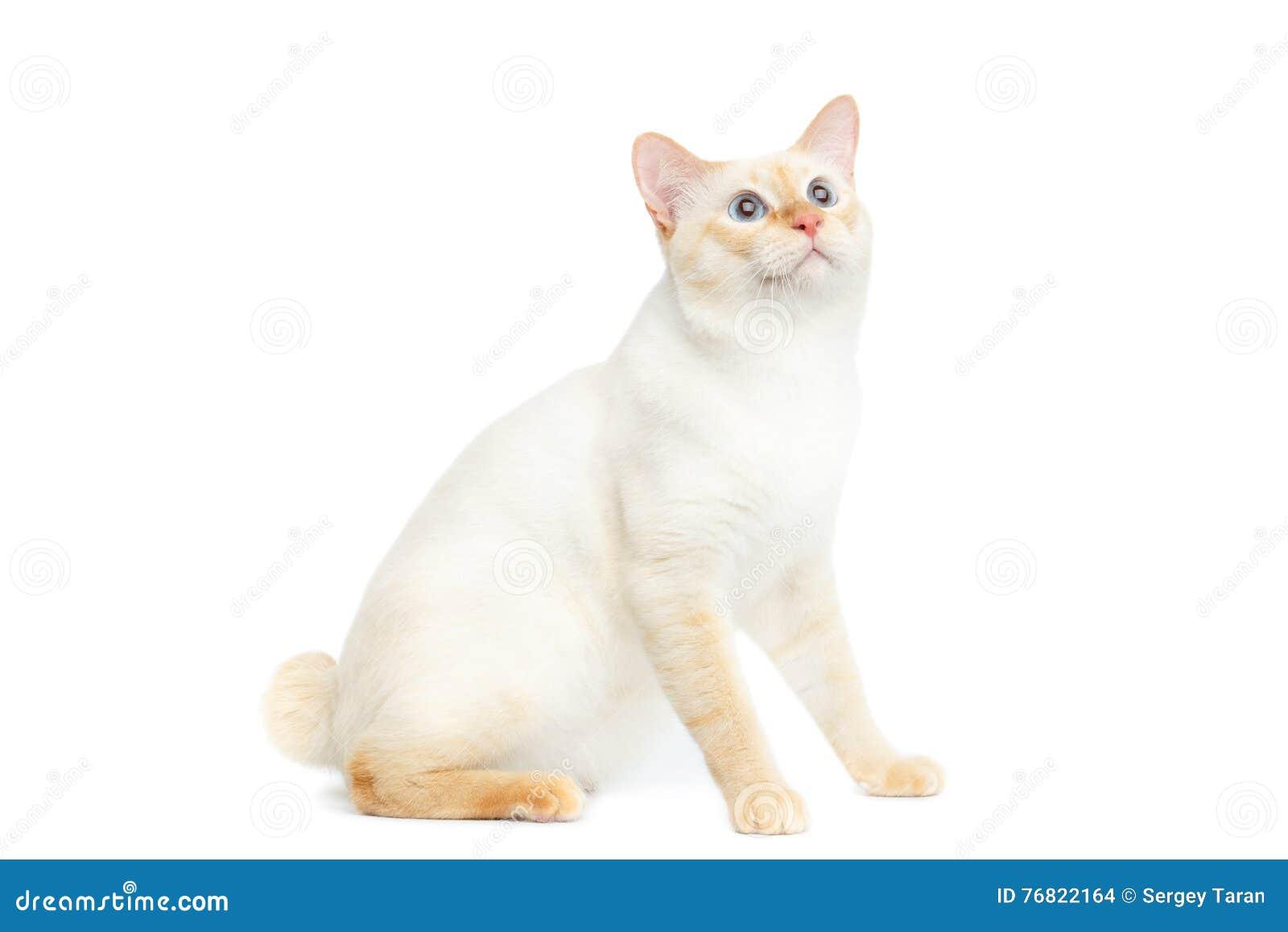 Cola cortada hermosa Cat Isolated White Background del Mekong de la raza