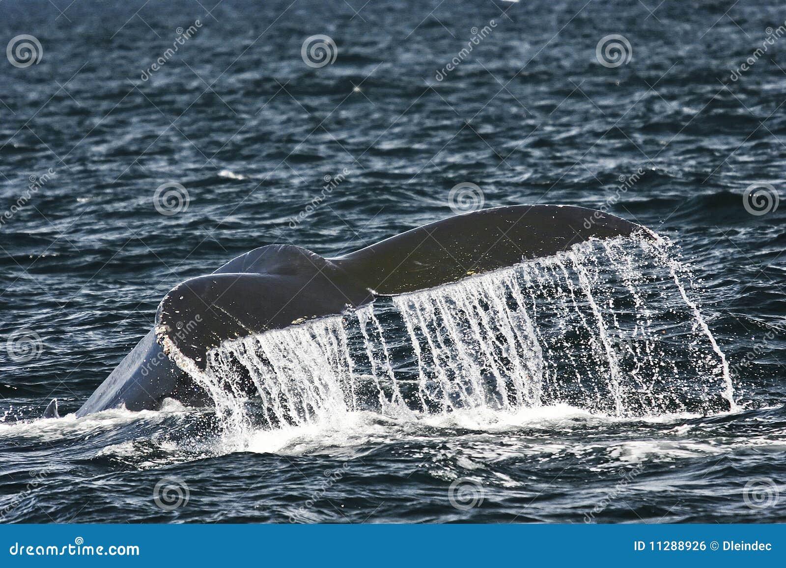 Cola de la ballena