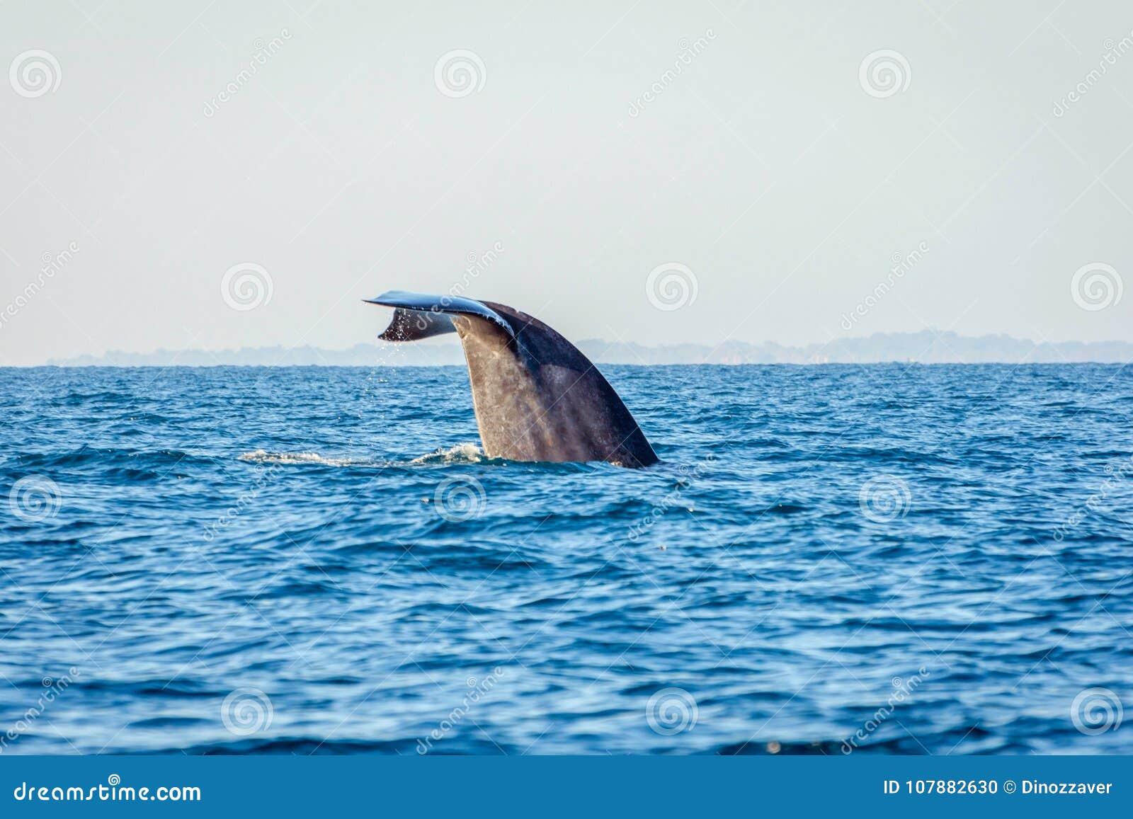 Cola de la ballena azul