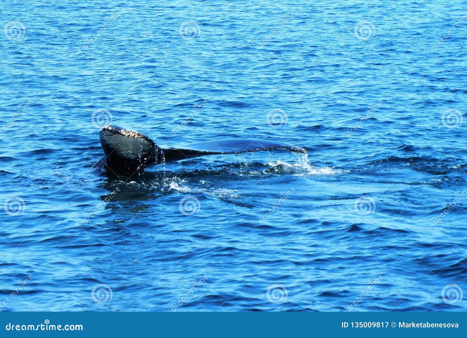 Cola de la ballena en agua azul