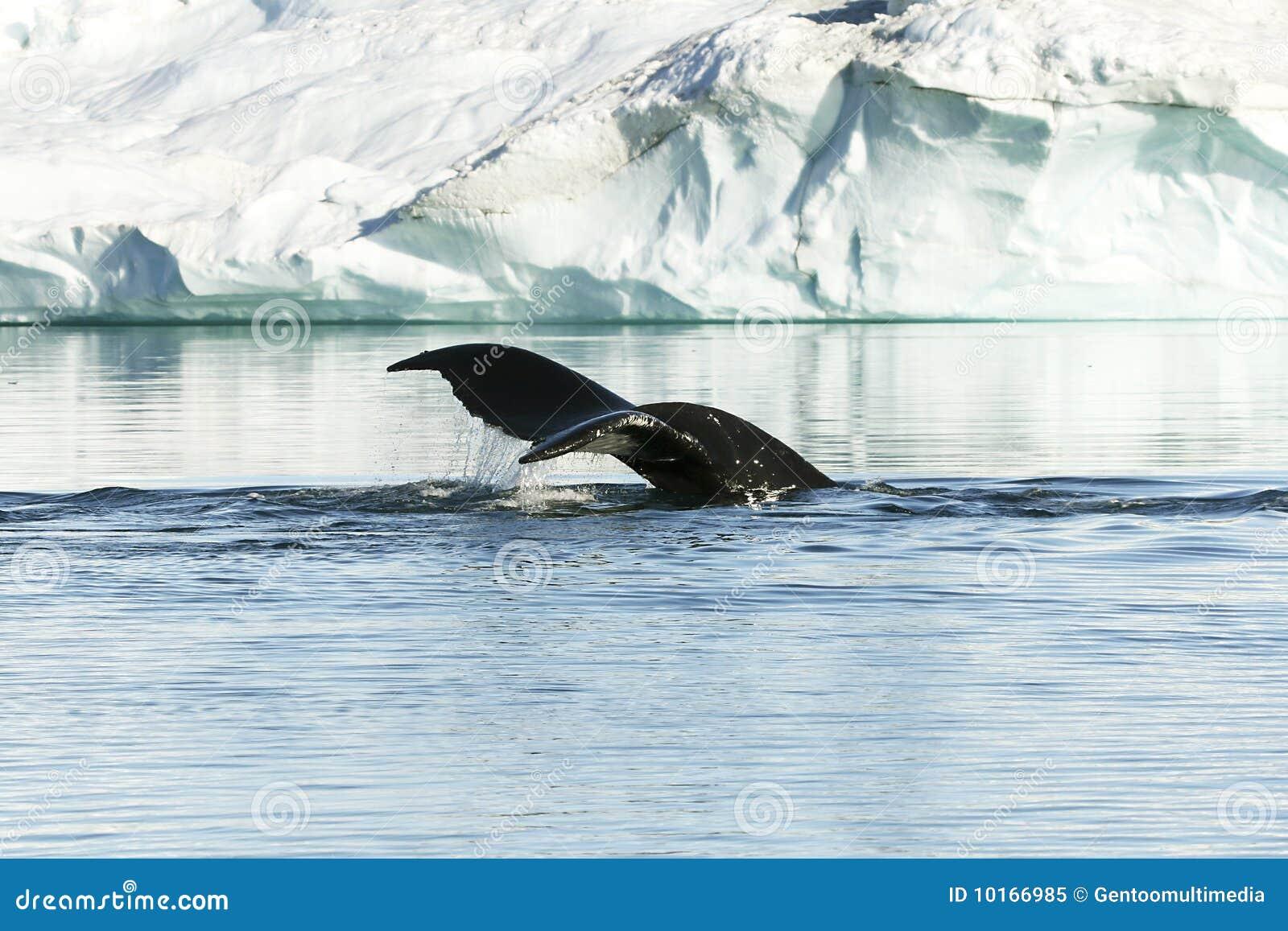 Cola del humpback