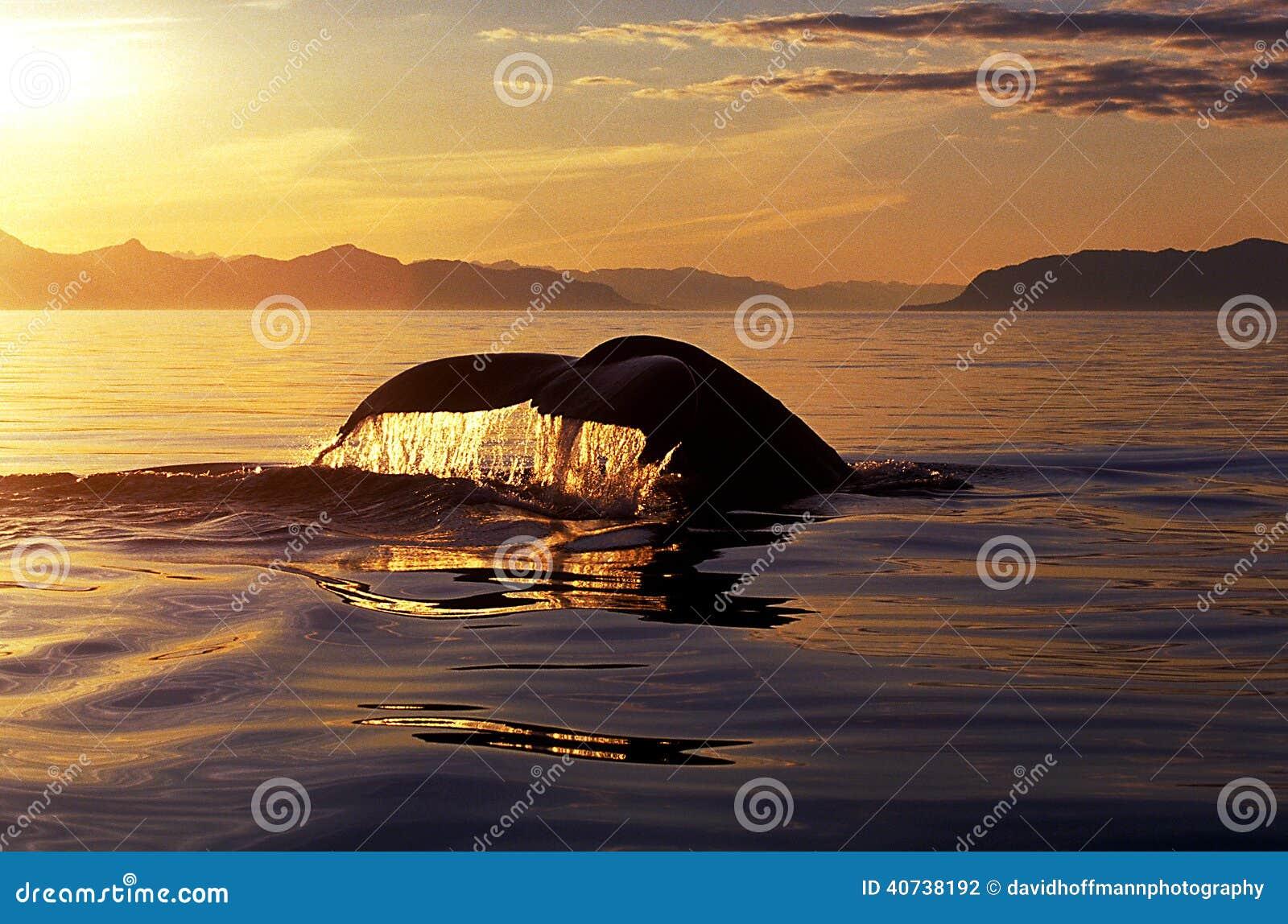 Cola en la puesta del sol (novaeangliae del Megaptera), Alaska de la ballena jorobada,