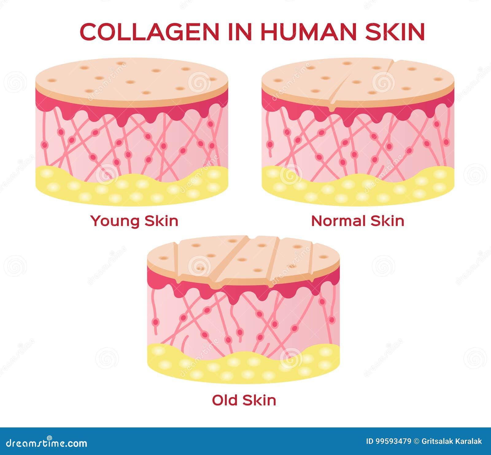 Colagênio na versão mais nova da pele e do envelhecimento