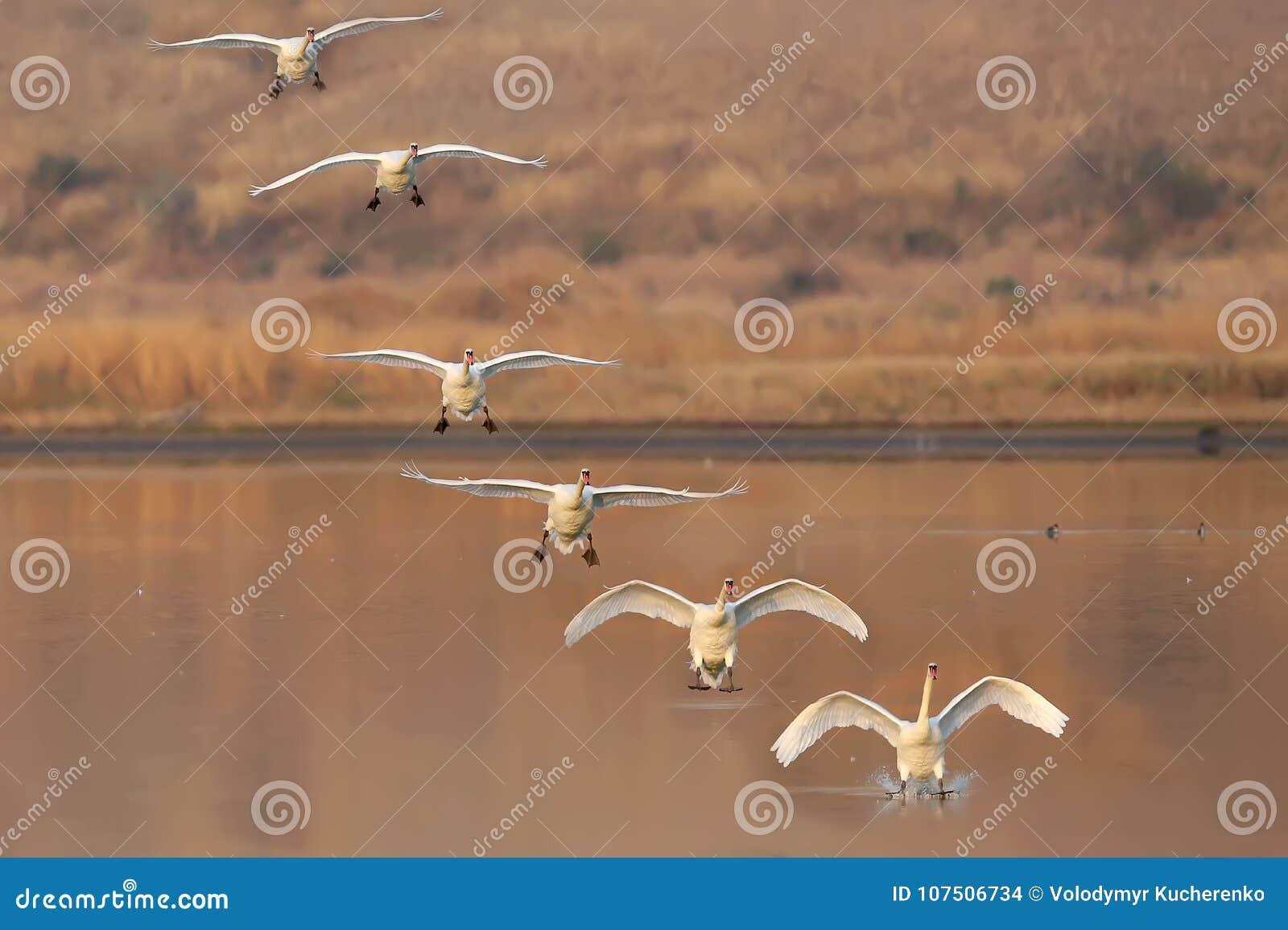 Colagem de diversos quadros de uma aterrissagem de uma cisne
