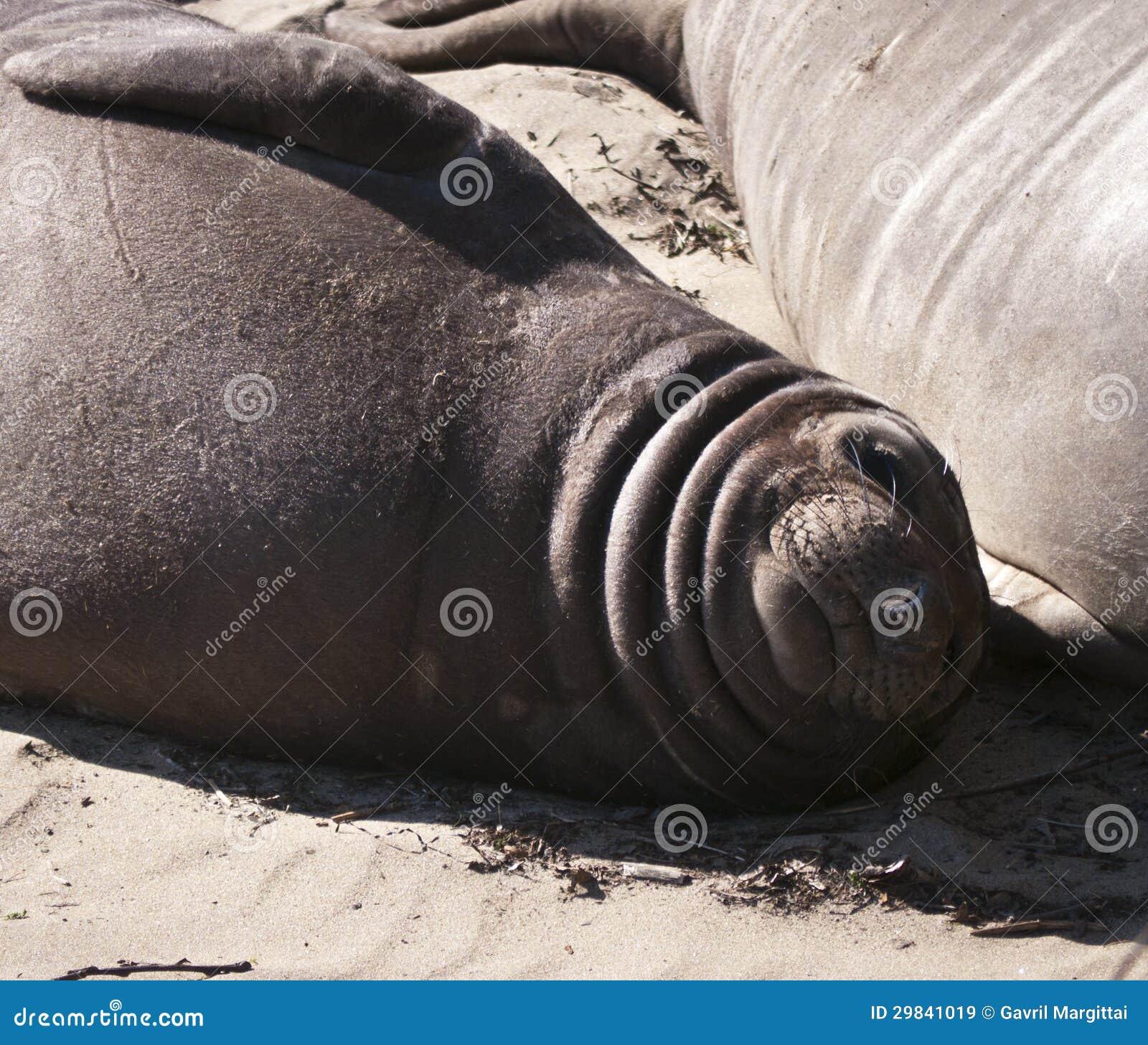 Filhote de cachorro de selo do elefante que encontra-se na praia