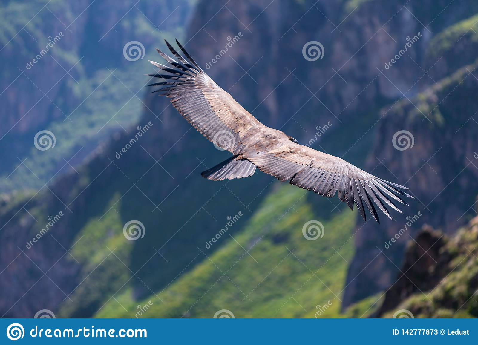 Backview of Condor flying over the colca Canyon in chivay, Peru looking for dead prey
