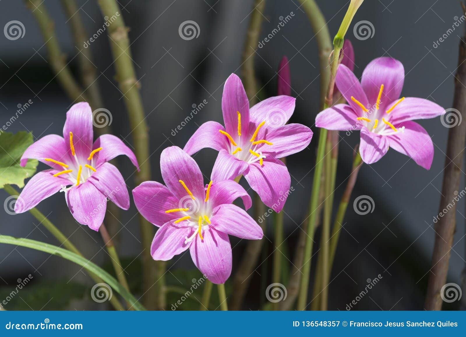 Colchicum autumnale groep in Jaen