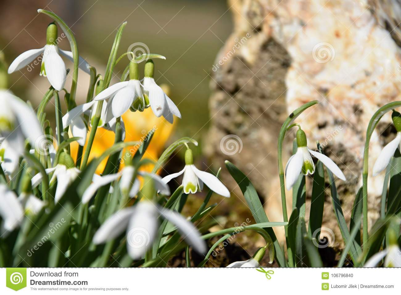 Colchicum And Snowdrops Spring Flowers That Grow In The Garden
