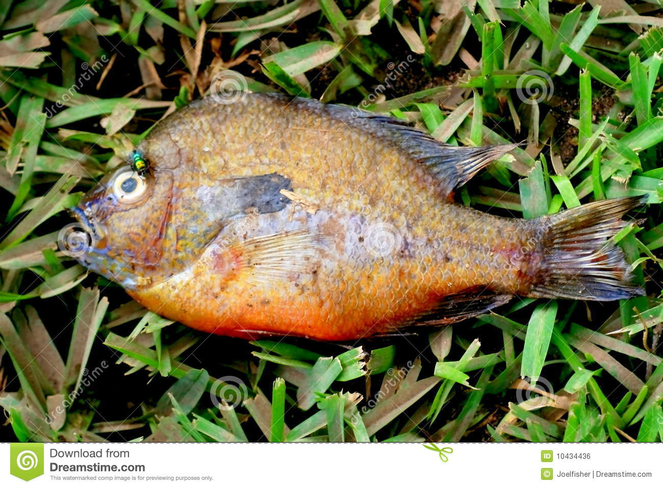 Cold fish royalty free stock image image 10434436 for Sun perch fish