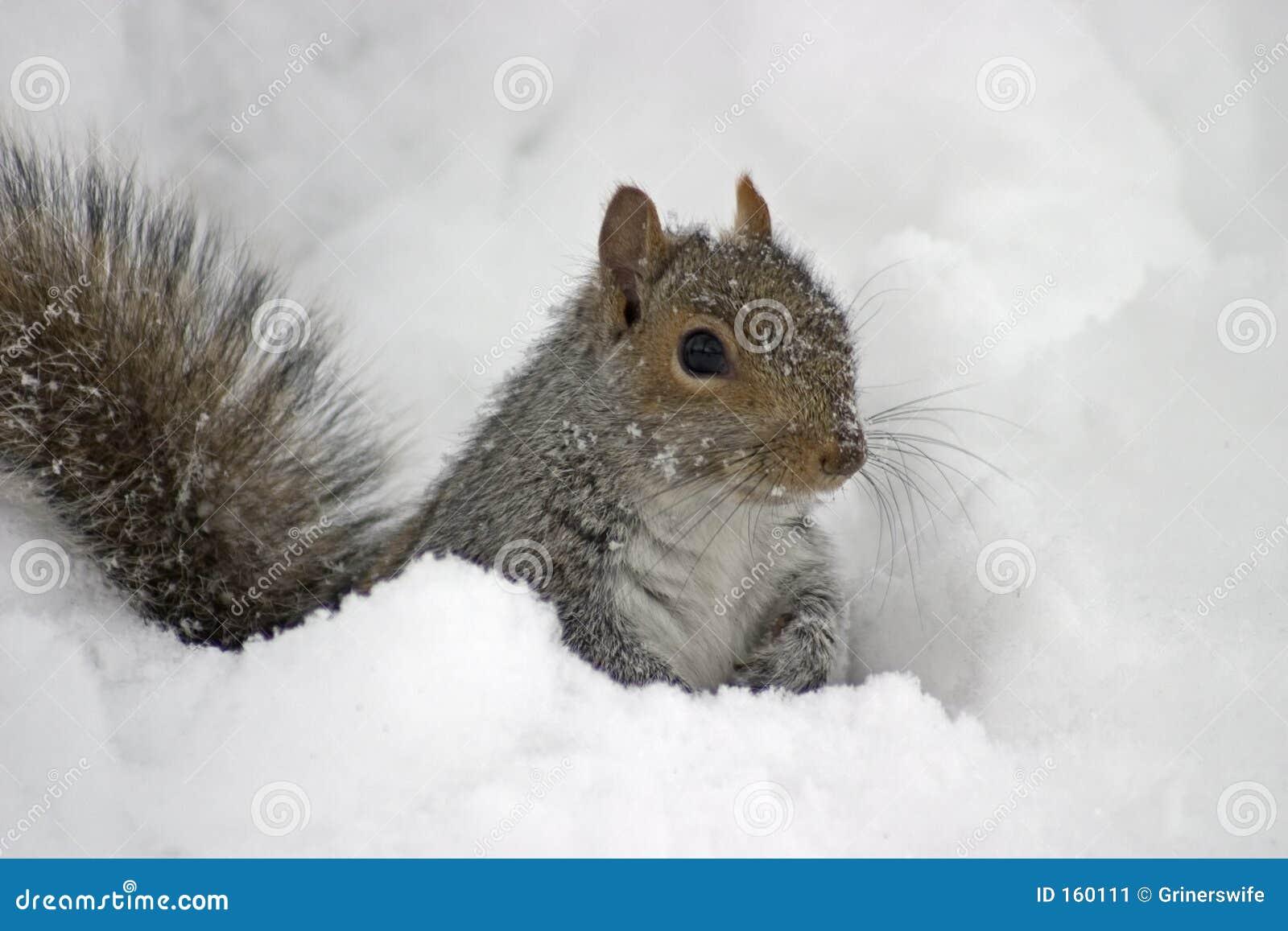Cold Squirrel