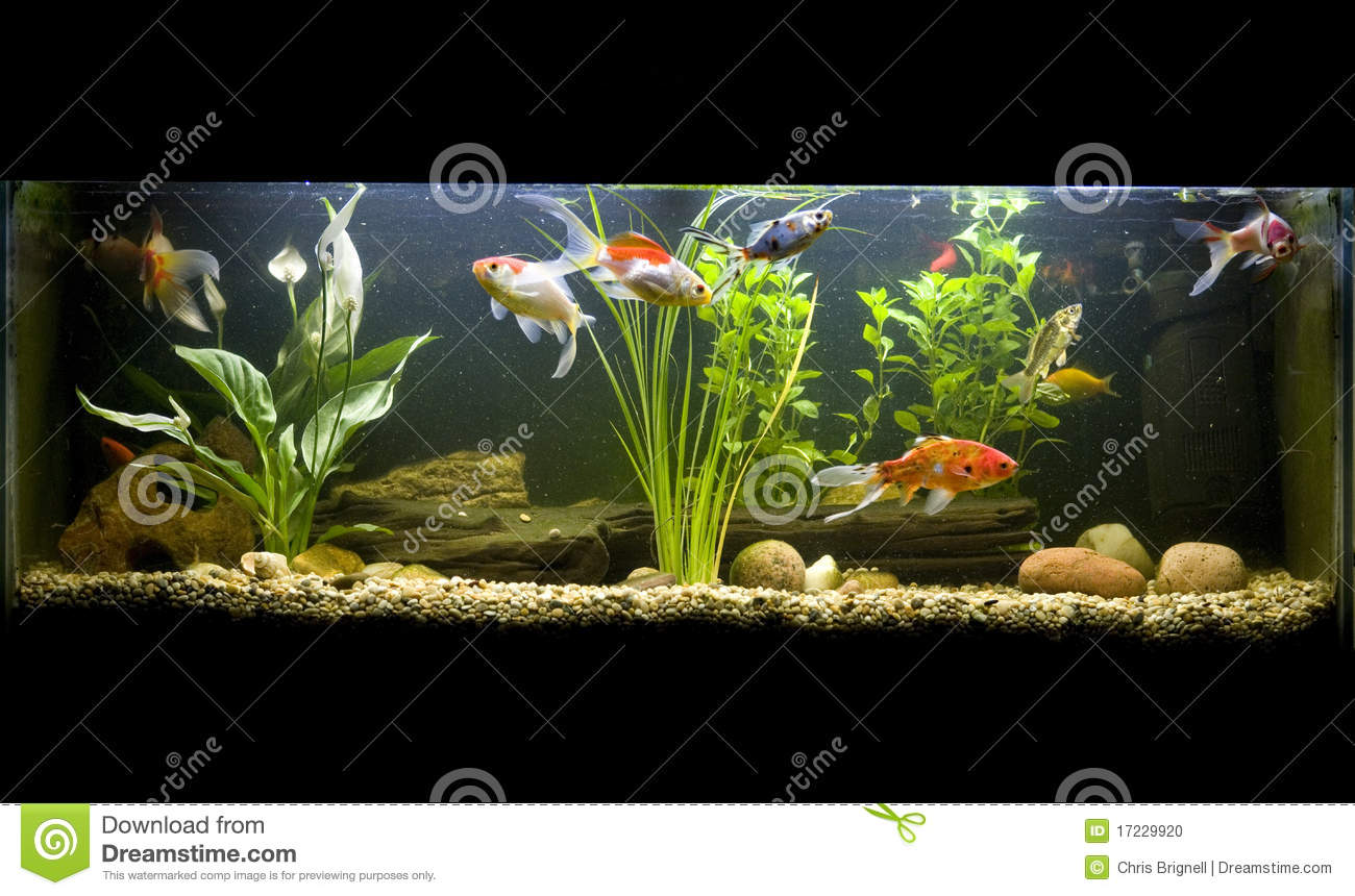 Coldwater fish tank stock photo image of fish cutout for What are cold water fish