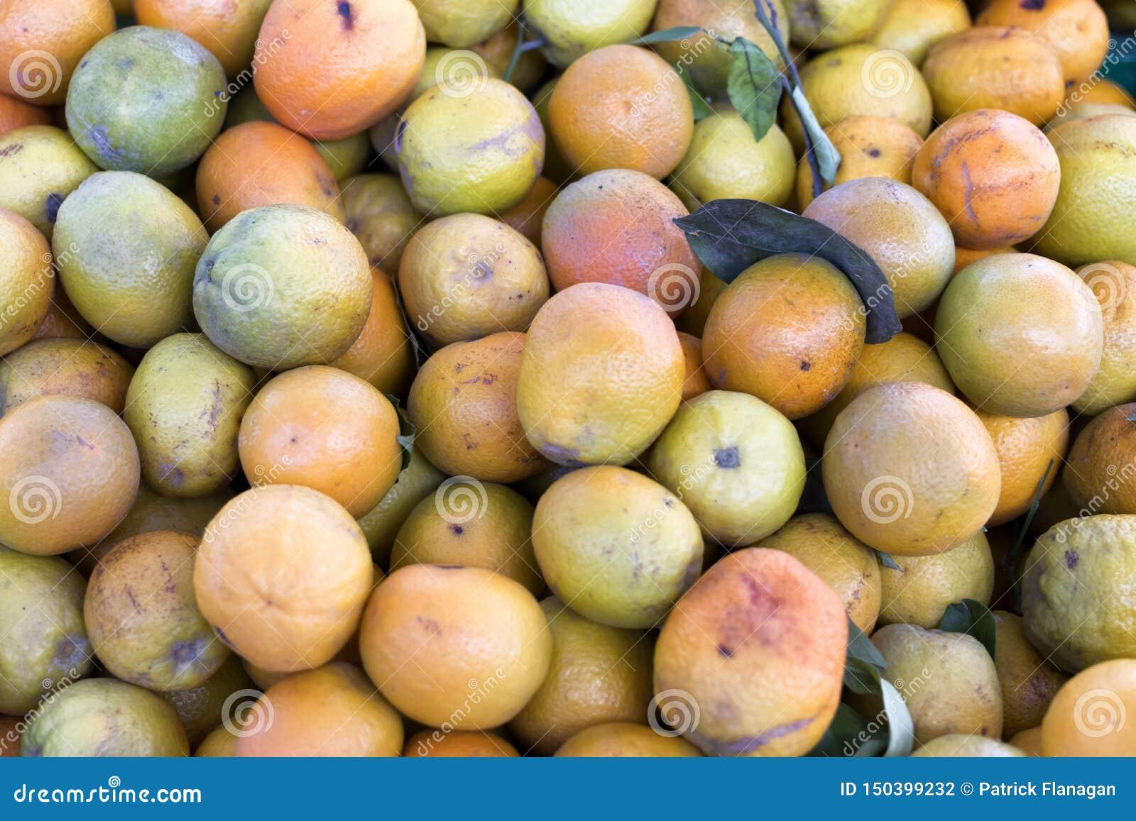 Coleção das laranjas de um bosque alaranjado espanhol