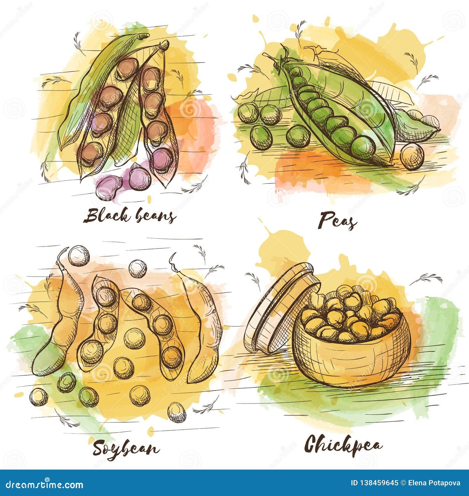 Coleção do esboço do vetor com os feijões para seu projeto Alimento saudável Feijões pretos, ervilhas, grão-de-bico e feijão de s