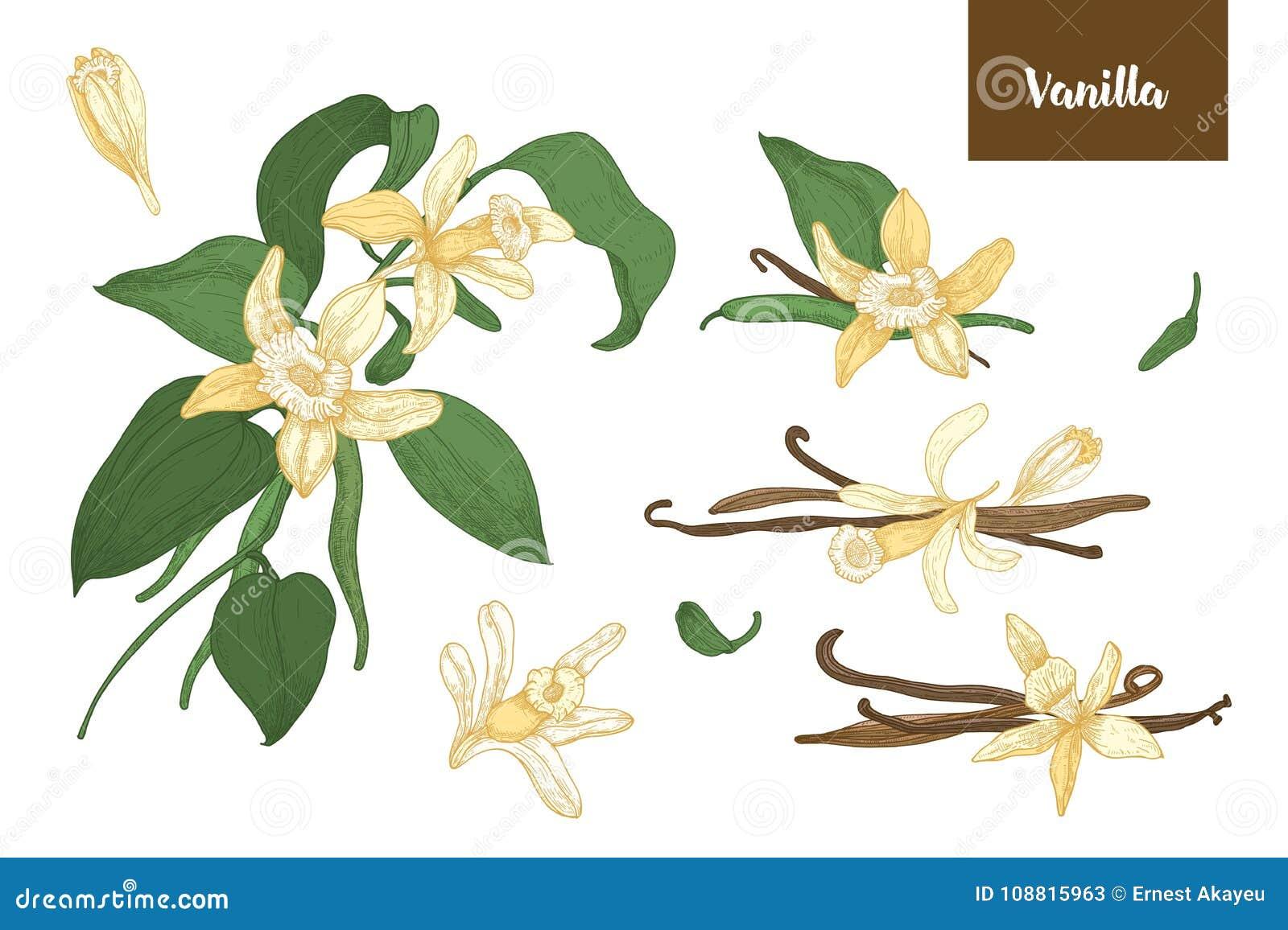 Colección De Dibujos Botánicos De Las Plantas De La Vainilla