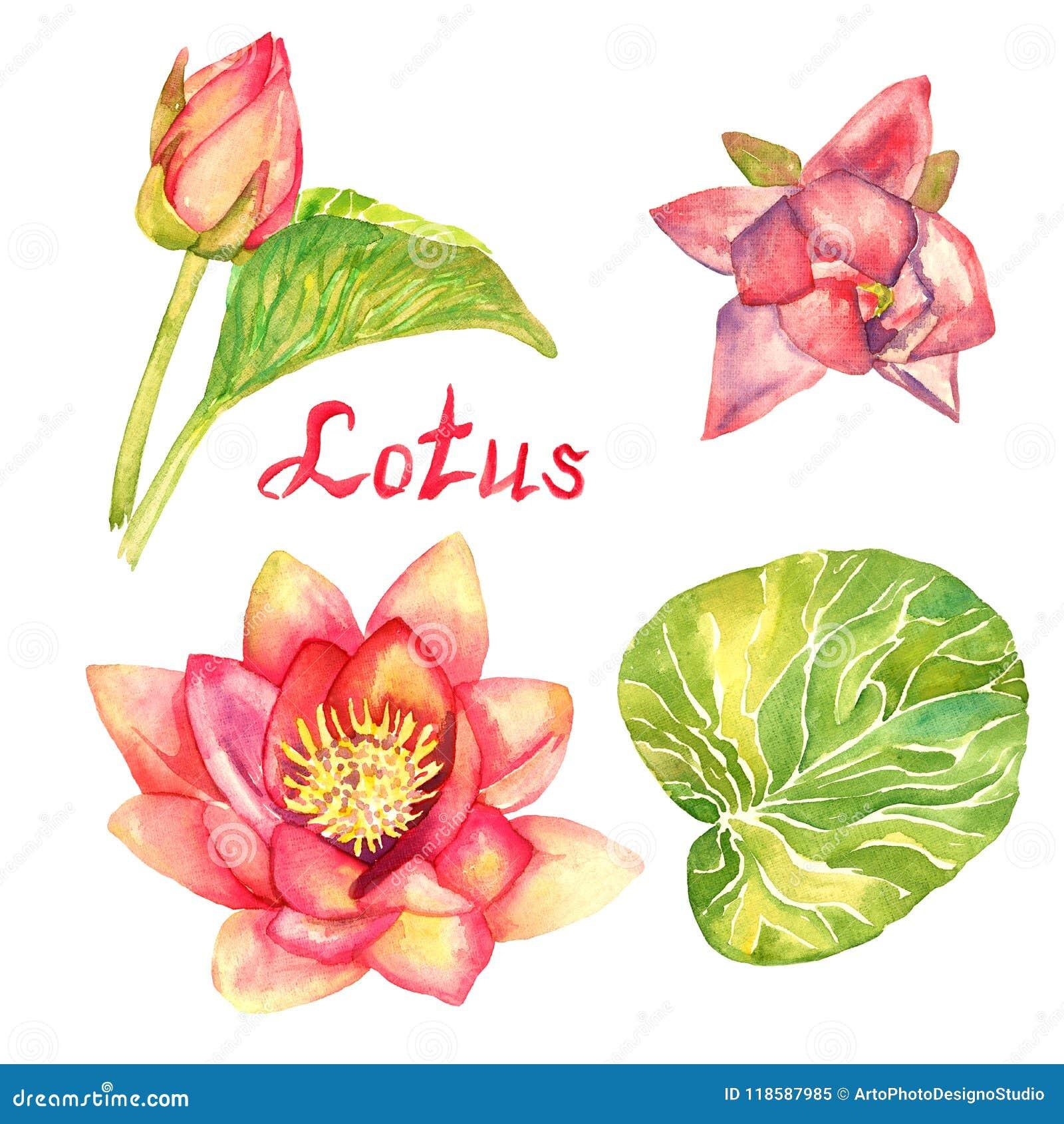 bd38f0c50901 Colección De Las Flores De Lotus