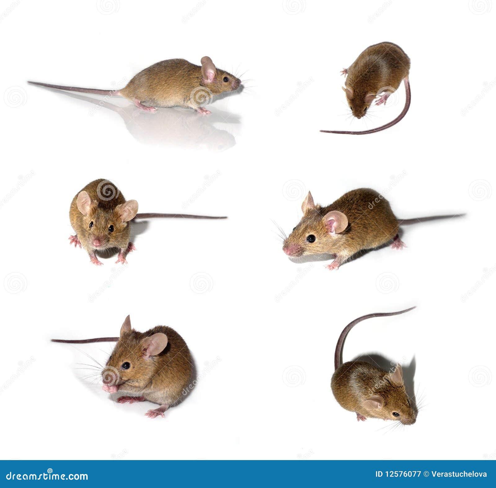 coleccin de los ratones