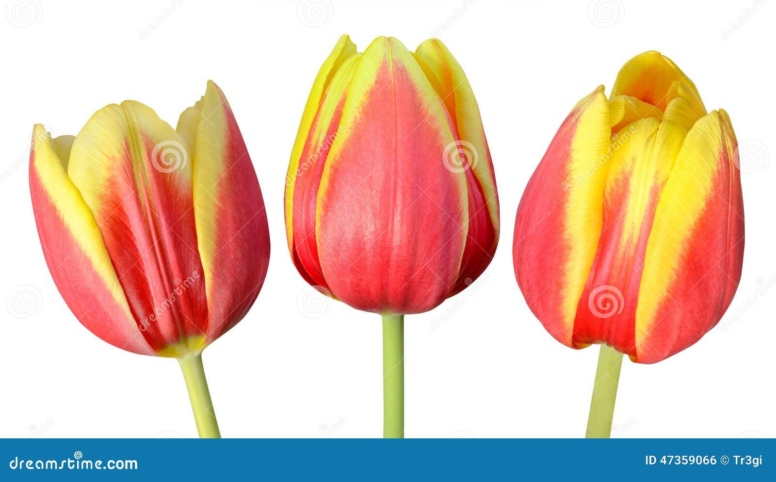 Colección de tres Tulip Flowers Isolated en blanco