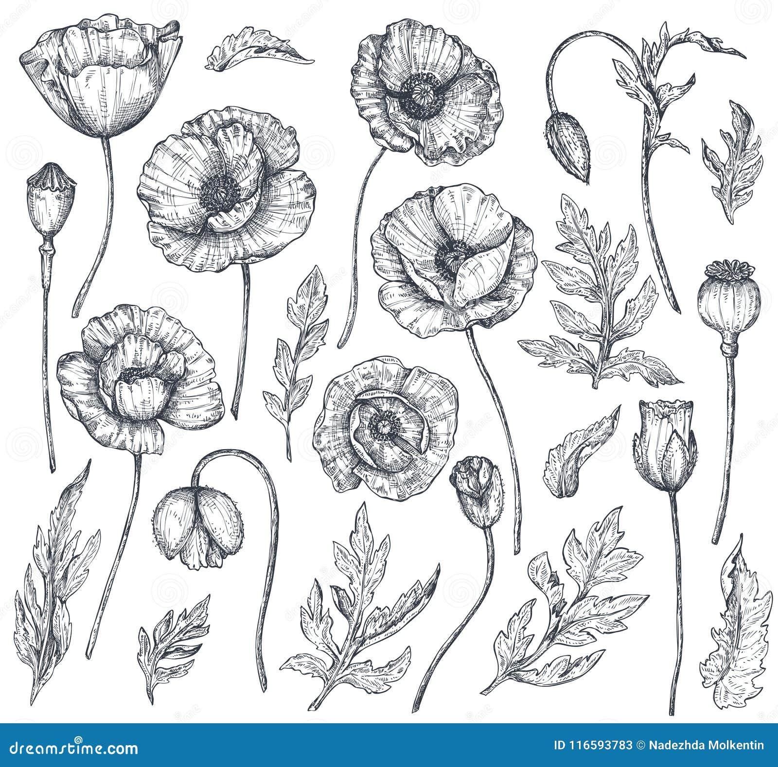 Colección Del Vector De Flores Dibujadas Mano De La Amapola ...