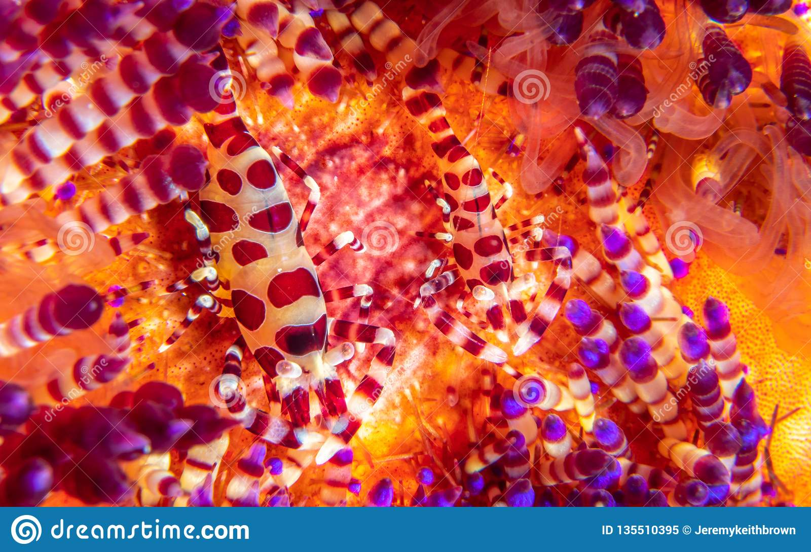 Coleman shrimp, Periclimenes colemani, on fire urchin, Astropyga radiata