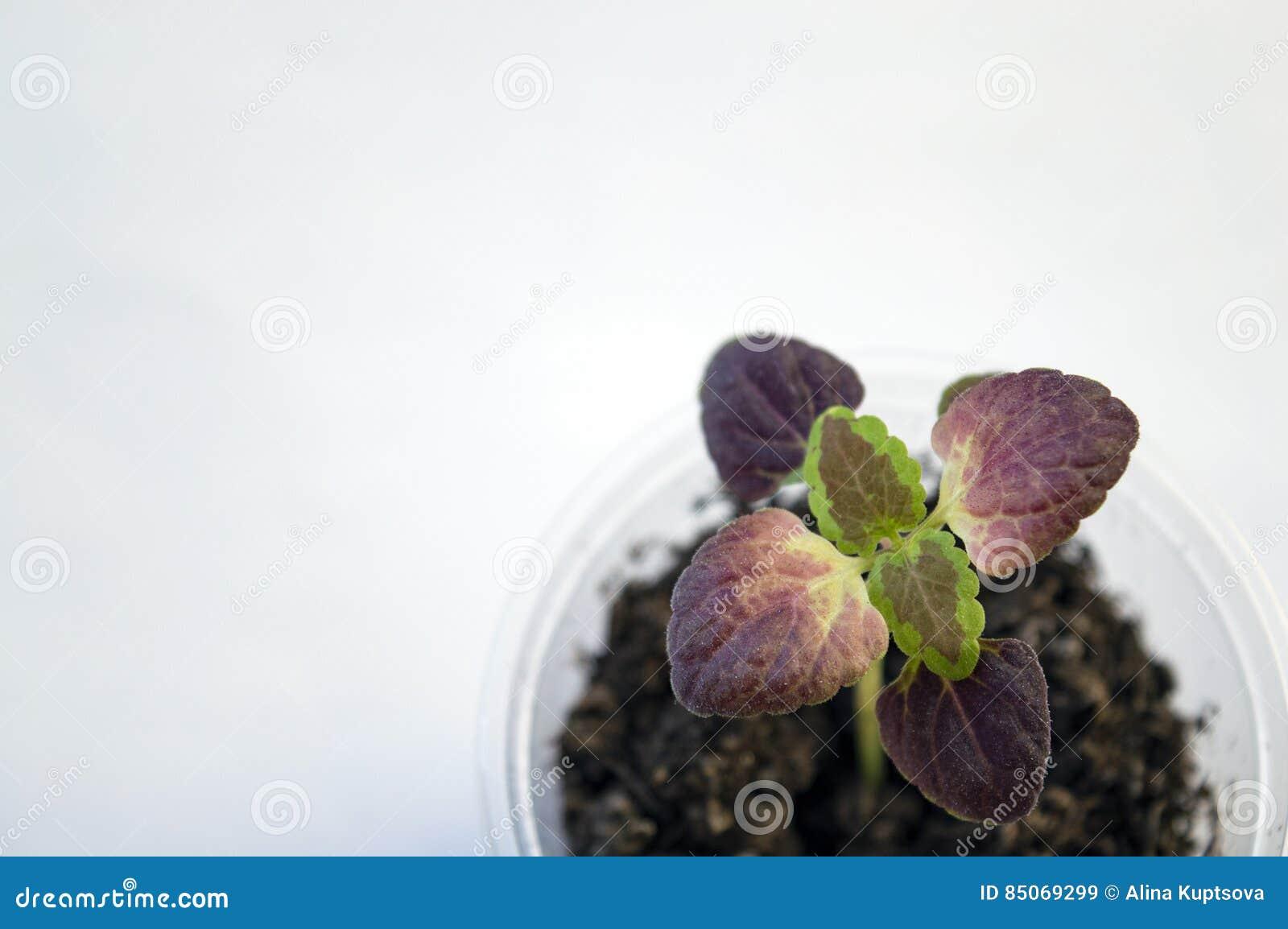 Coleus Black Dragon Seedling Background Stock Image - Image of ...