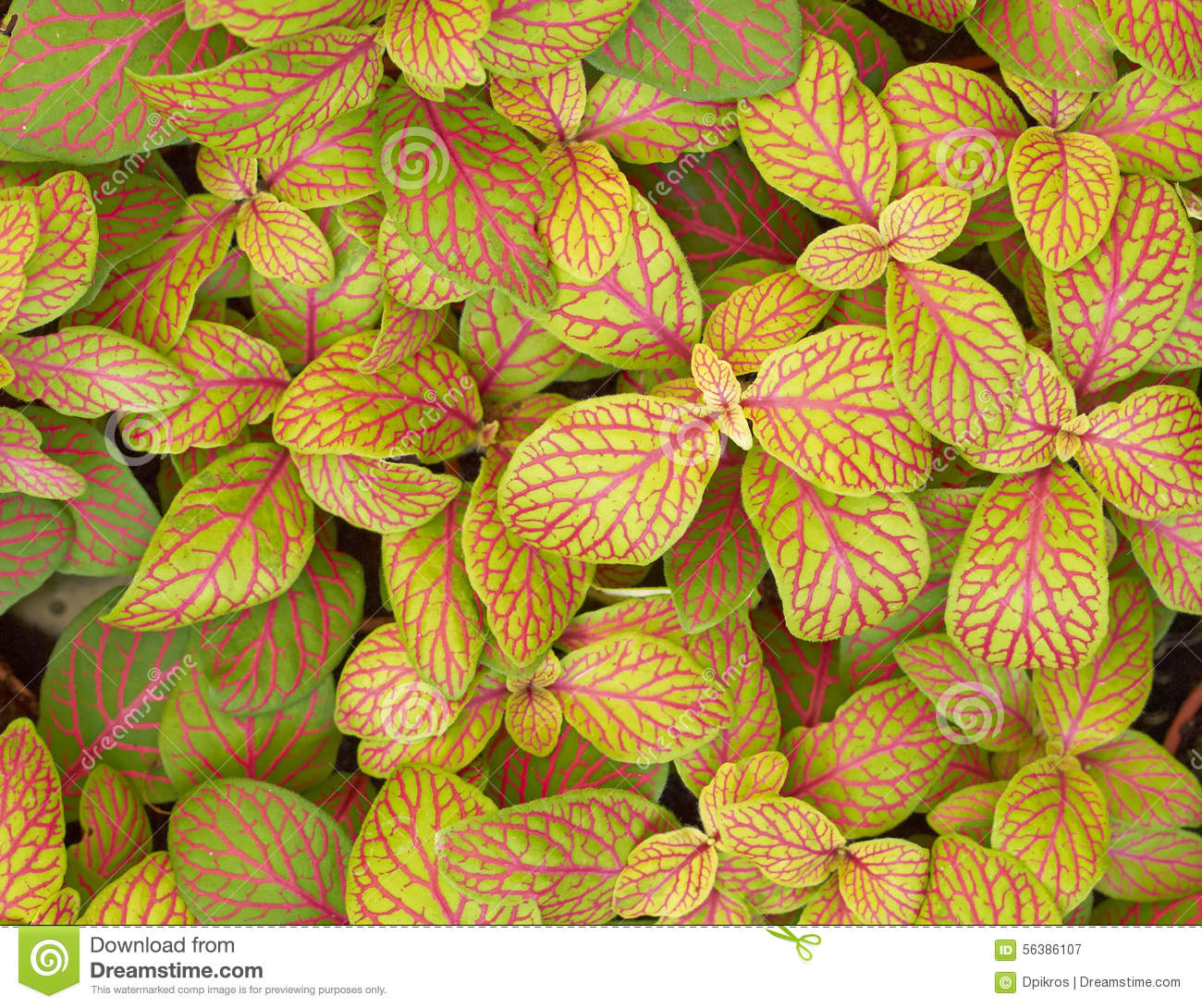 coleus plant foliage closeup stock photo  image, Natural flower