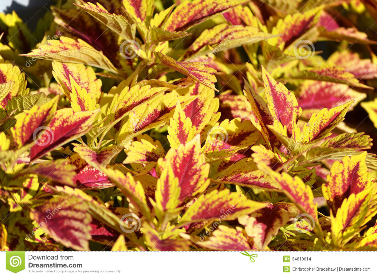 coleus plant stock images  image, Natural flower