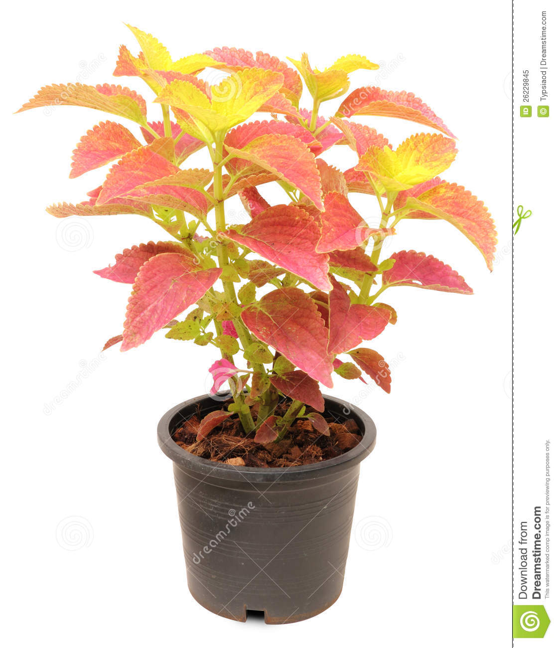 Coleus in a pot royalty free stock photo image 26229845 - Seven tricks for healthier potted plants ...