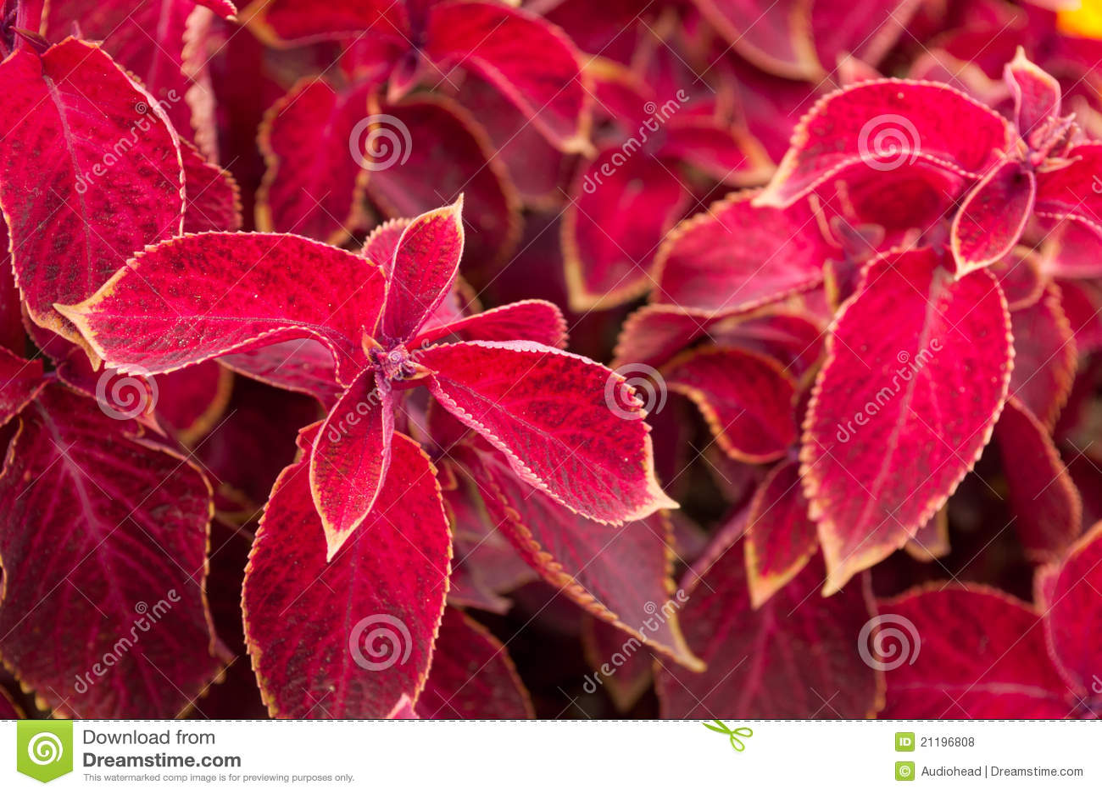Coleus Red Velvet Plant