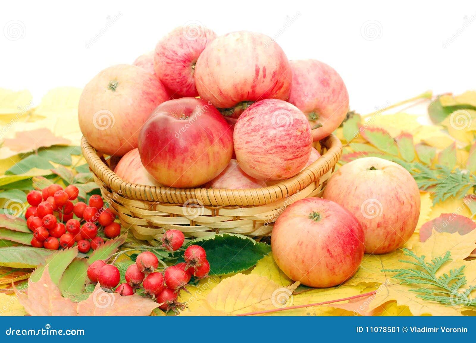 Colheita das maçãs
