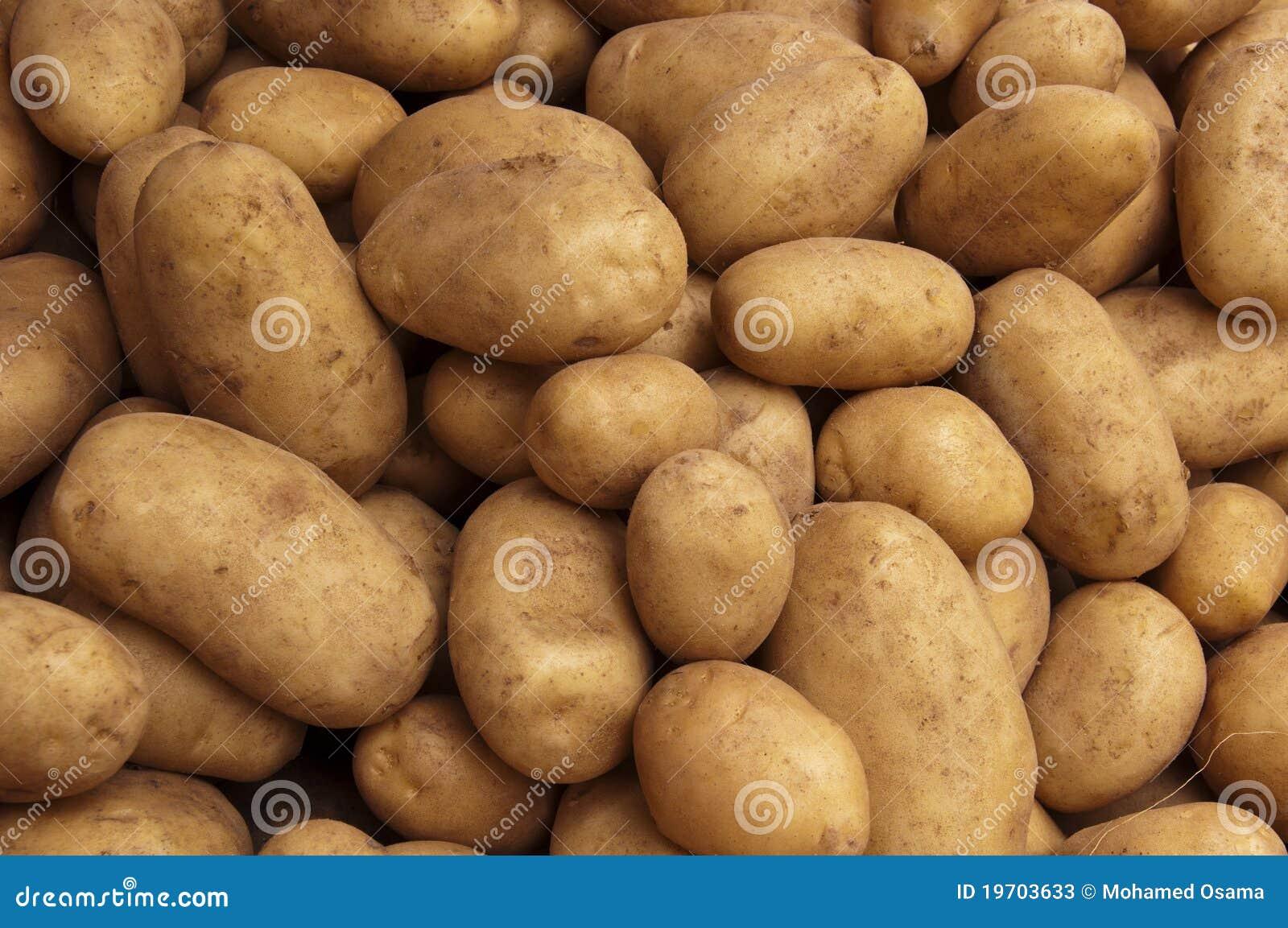 Colheita de batatas da exploração agrícola