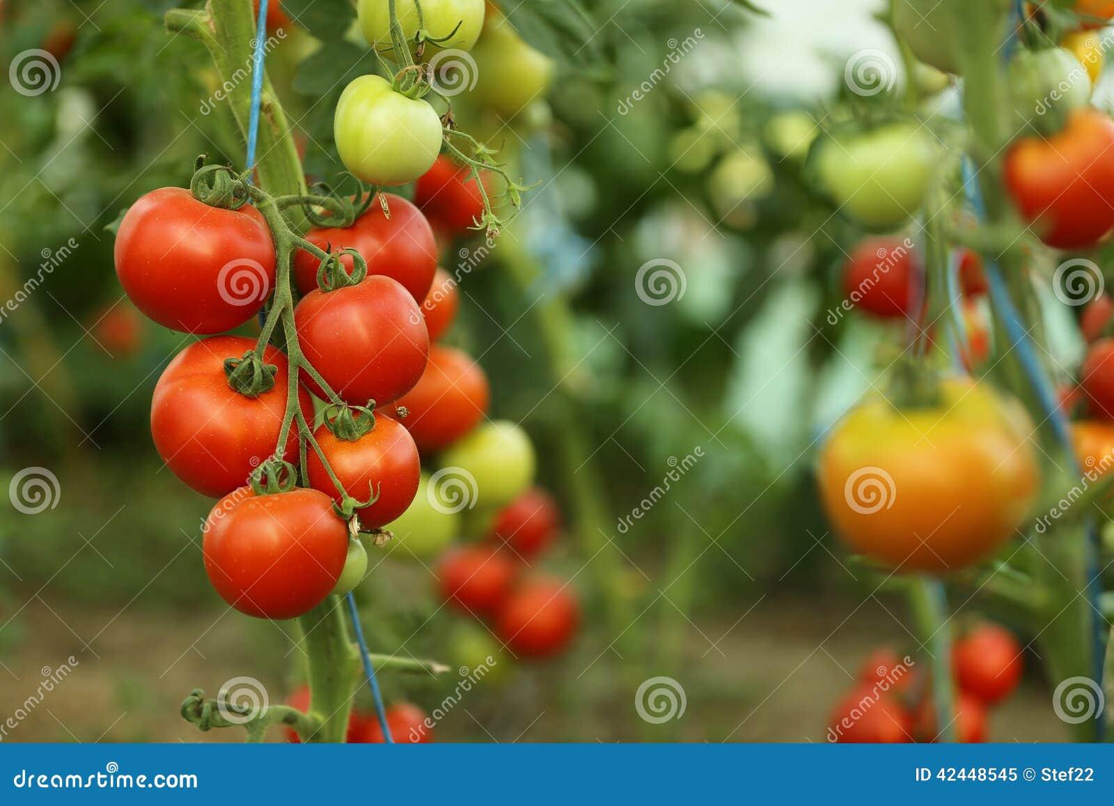 Colheita de tomate